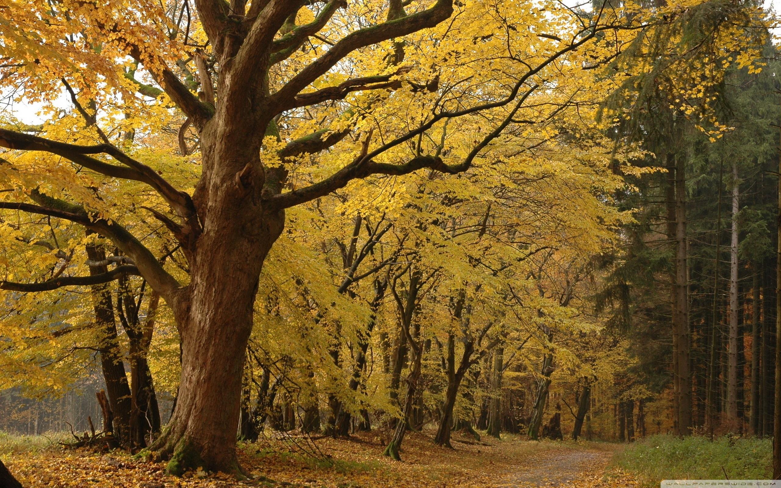 Yellow Tree In Forest ❤ 4K HD Desktop Wallpaper for 4K Ultra HD TV ...
