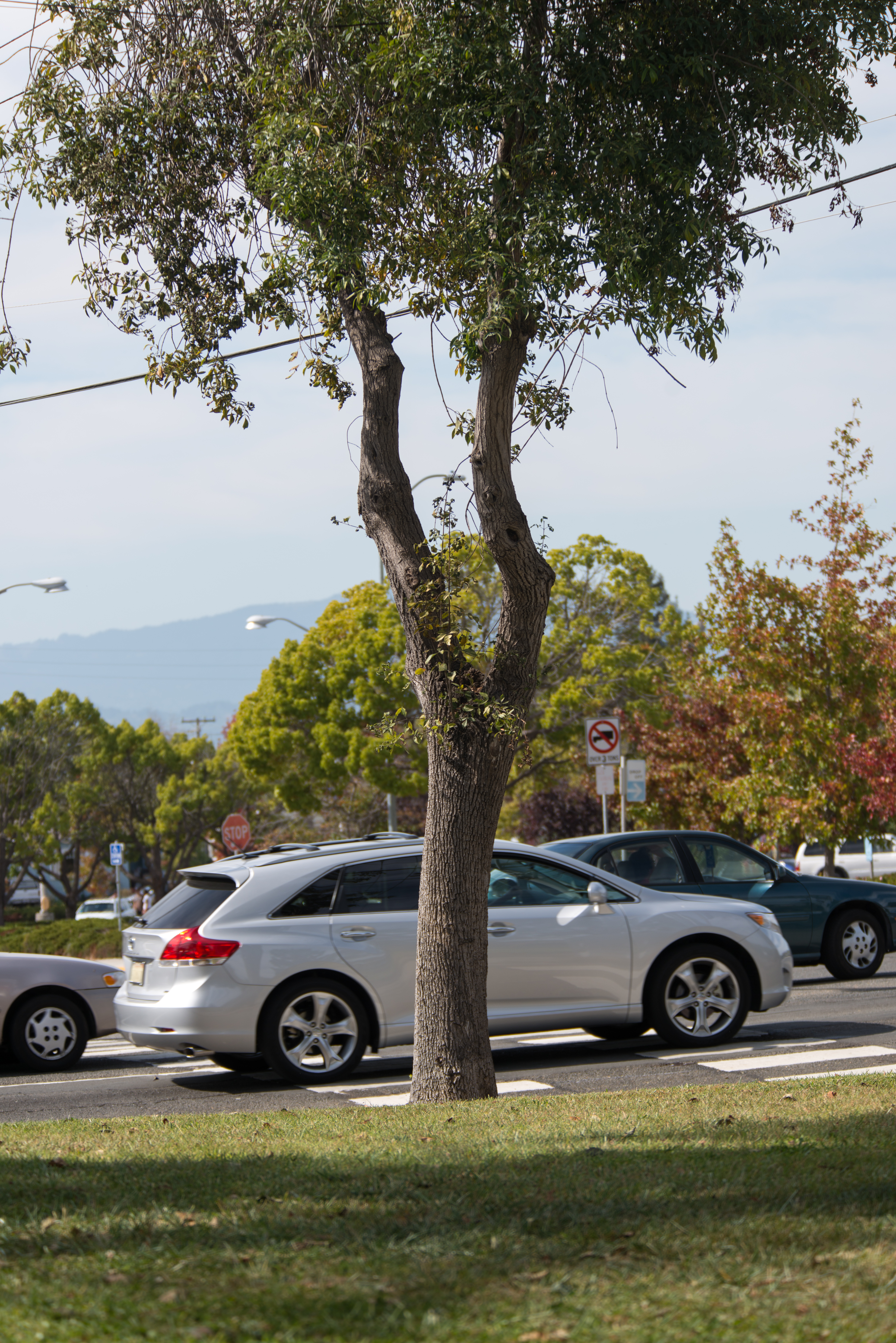 Tree in ohlone park in front of road with stopped cars photo