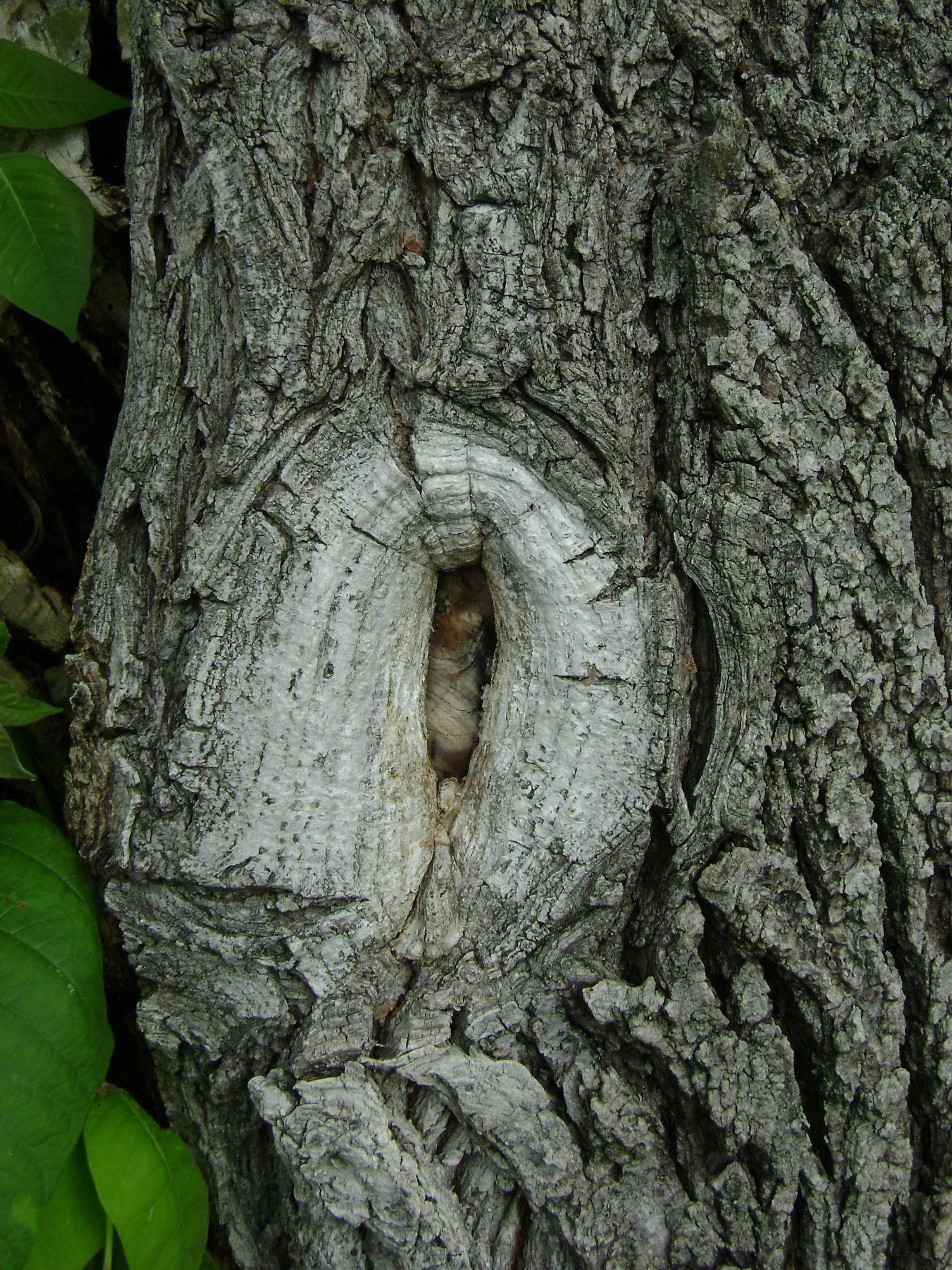 Tree knot photo