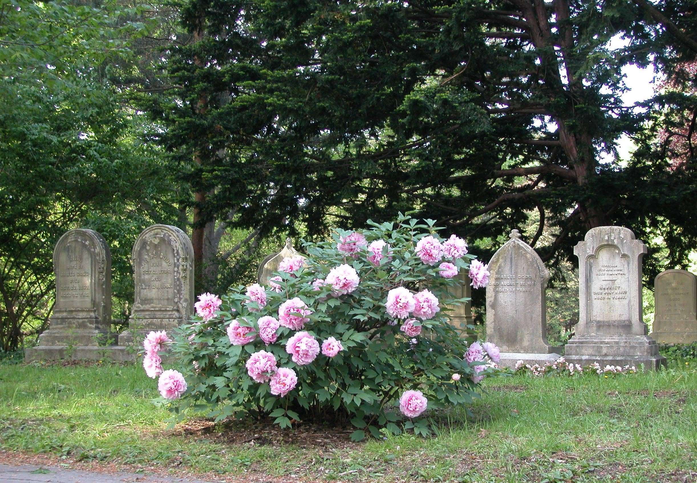 Horticultural Highlight: Paeonia suffruticosa | Mount Auburn Cemetery