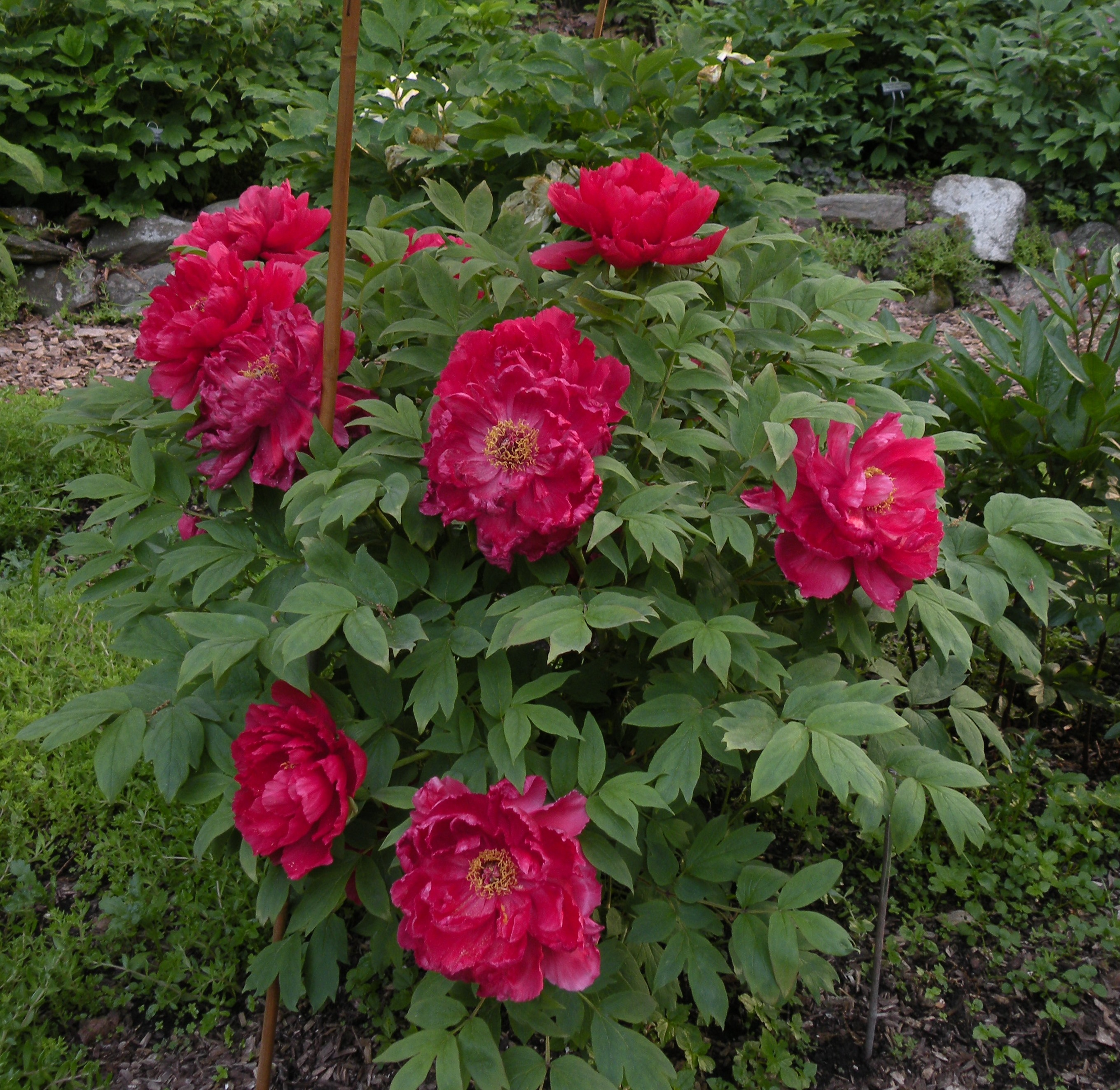Peony Growth Habits: a peony for every place – Cricket Hill Garden