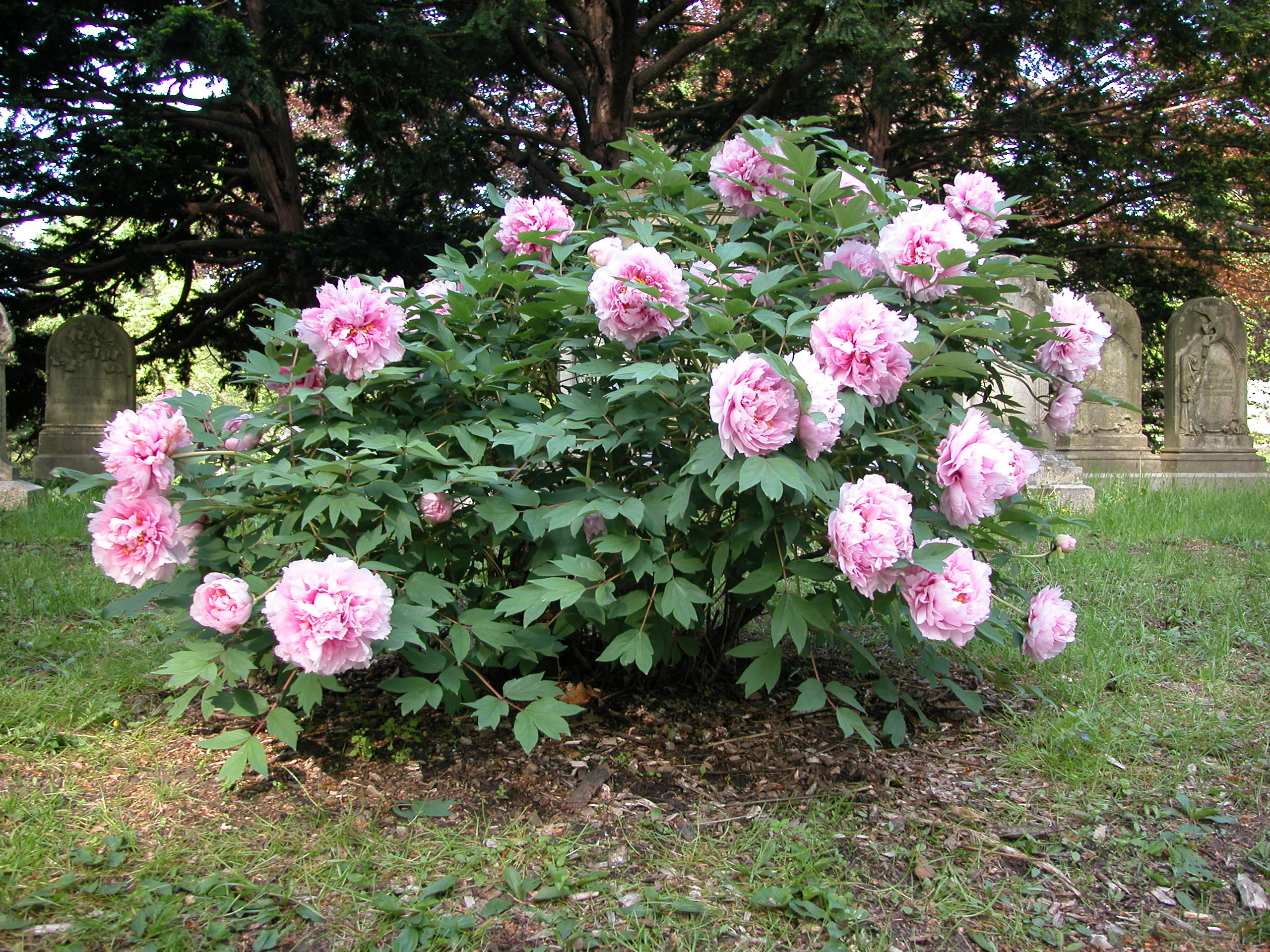 Horticultural Highlight: Paeonia suffruticosa | Mount Auburn Cemetery