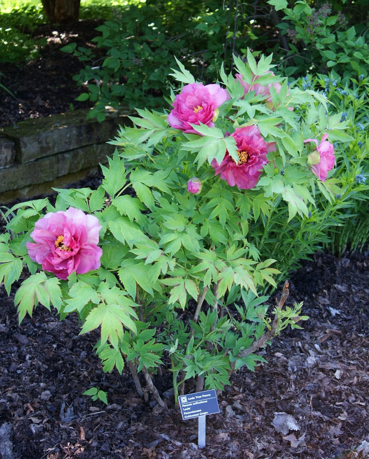 Visit My Garden: Japanese Tree Peonies at Olbrich