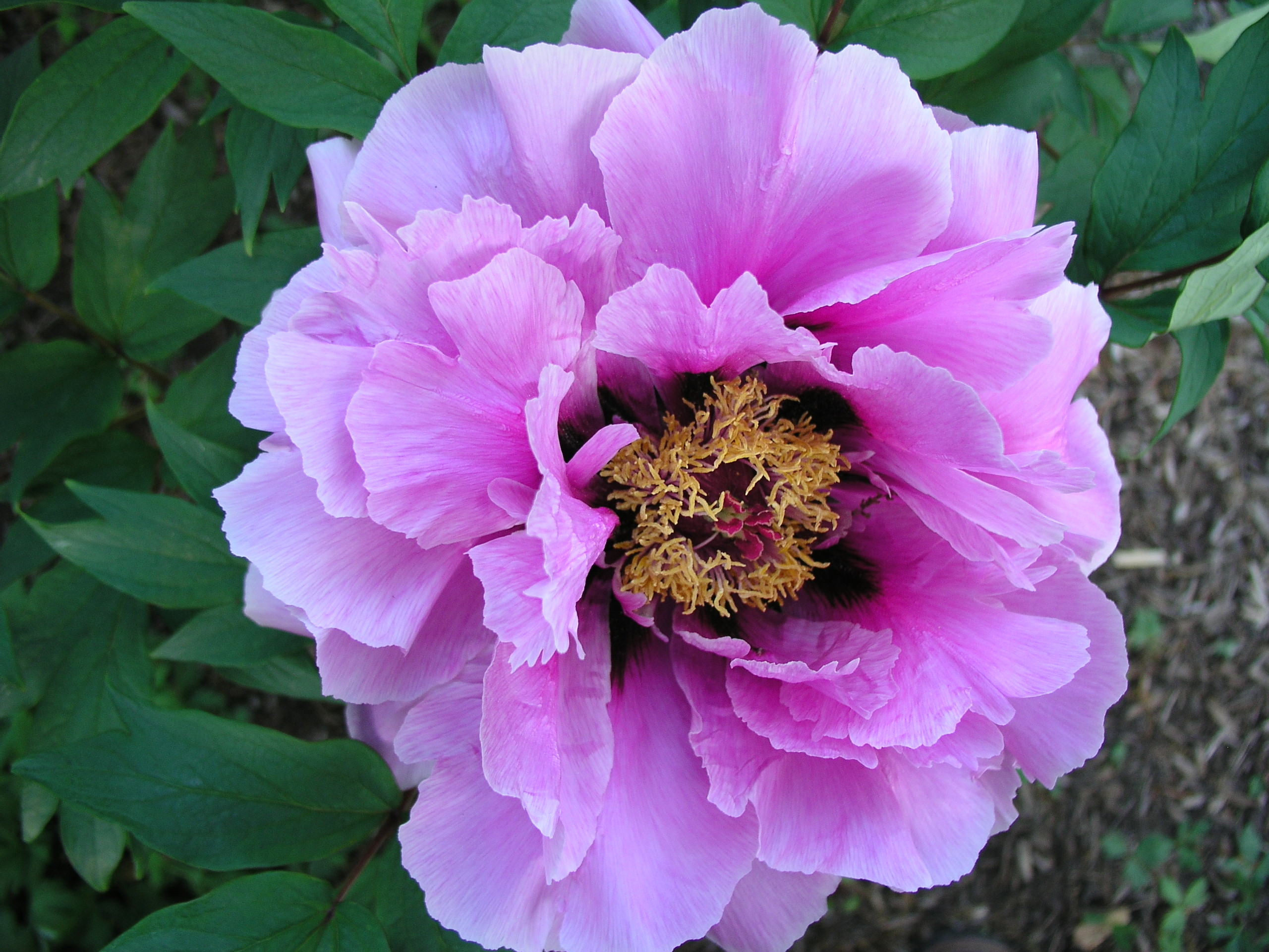 Tree Peonies | Palmiters Garden Nursery