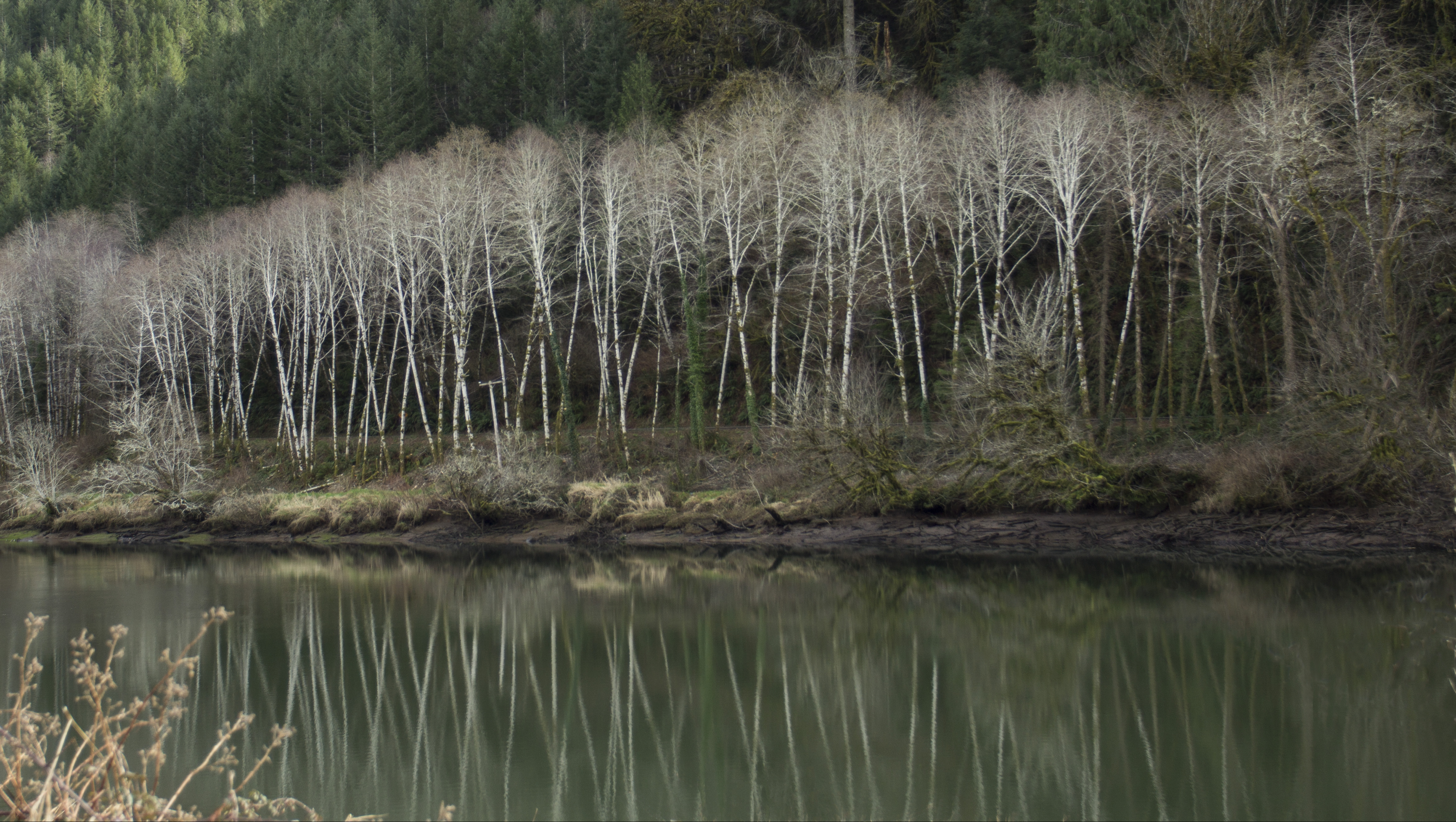 Tree reflection on siuslaw river, oregon photo
