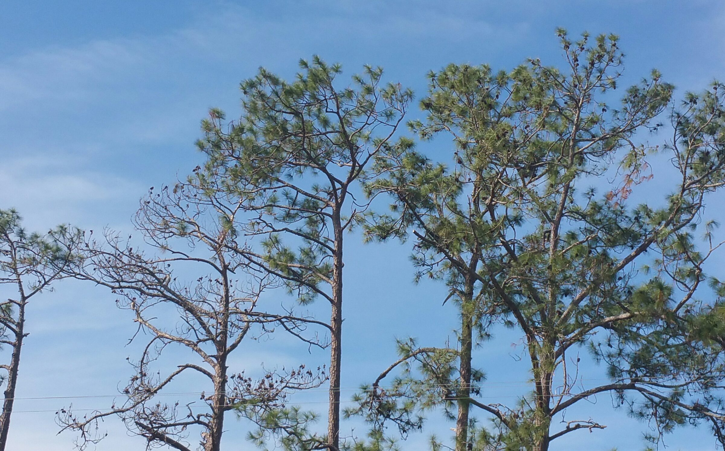 Why Are My Pine Trees Dying? - UF/IFAS Extension Volusia County