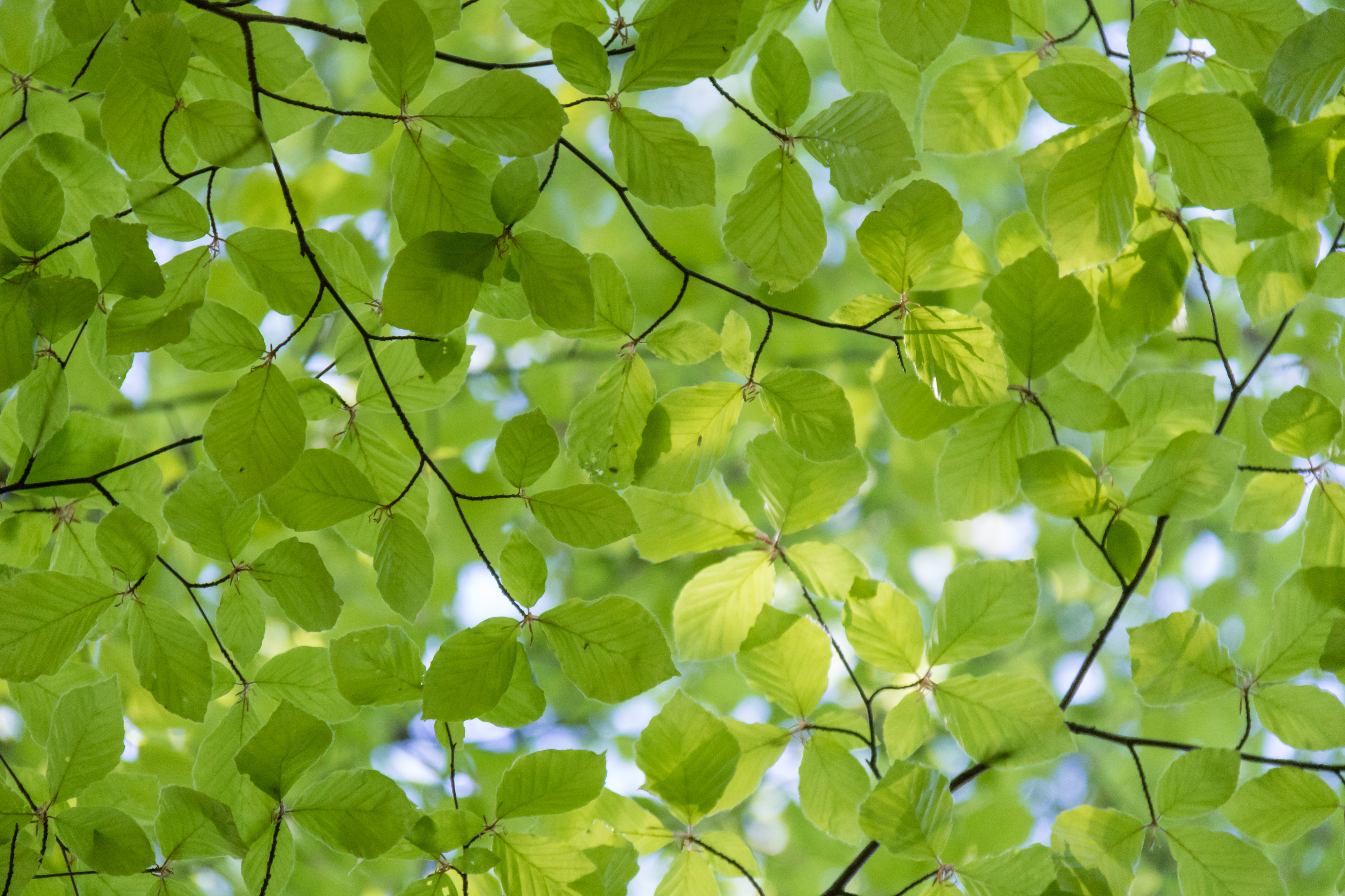 Climate Change: Why the Beech Tree Boom is Bad for Cool Forests ...