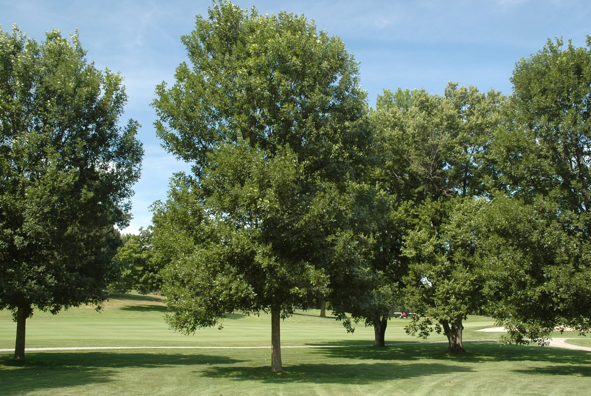 Ash tree on brink of extinction in Northeast US