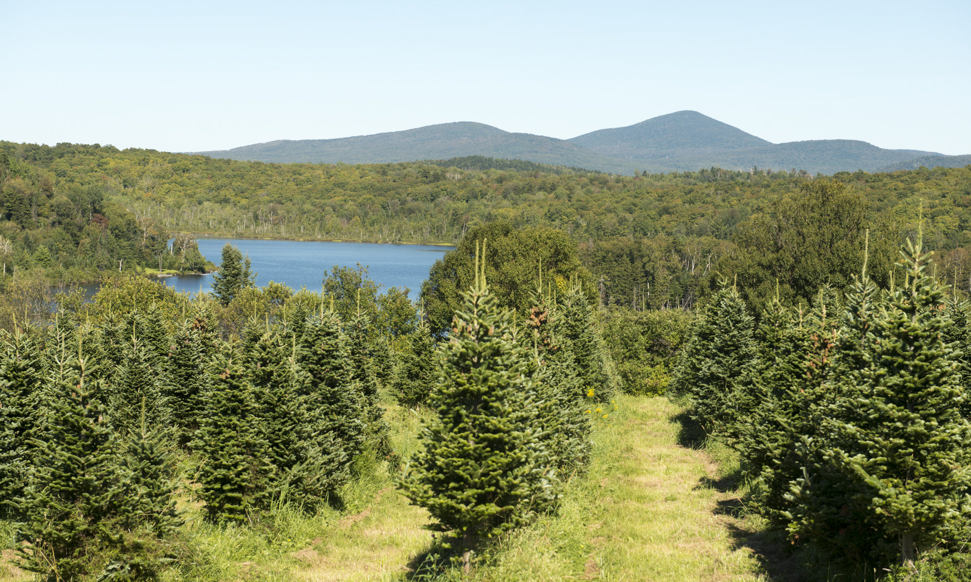 Christmas Trees – Windswept Farm