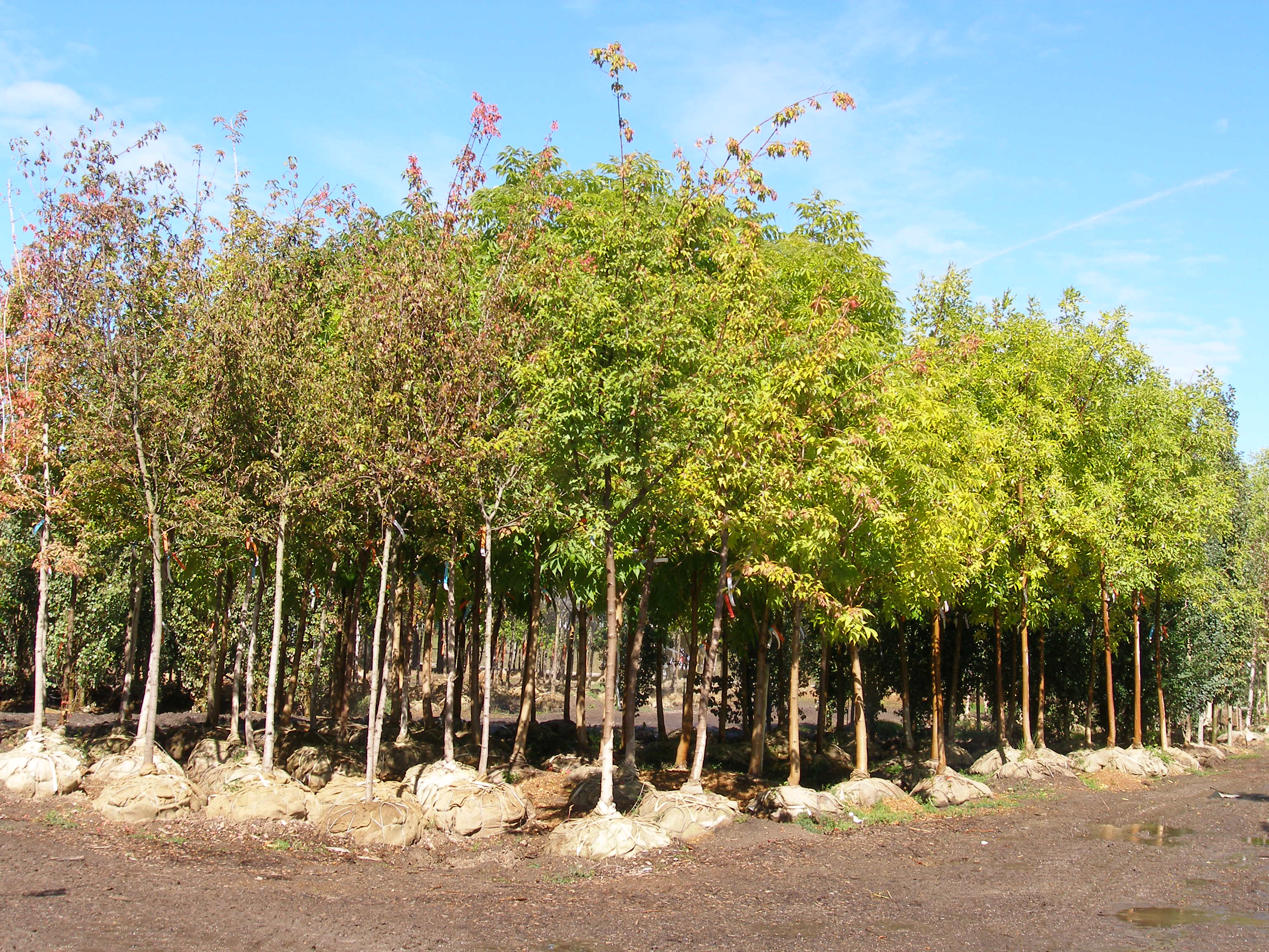 So You Need To Plant A Caliper Tree - Cannor Edmonton