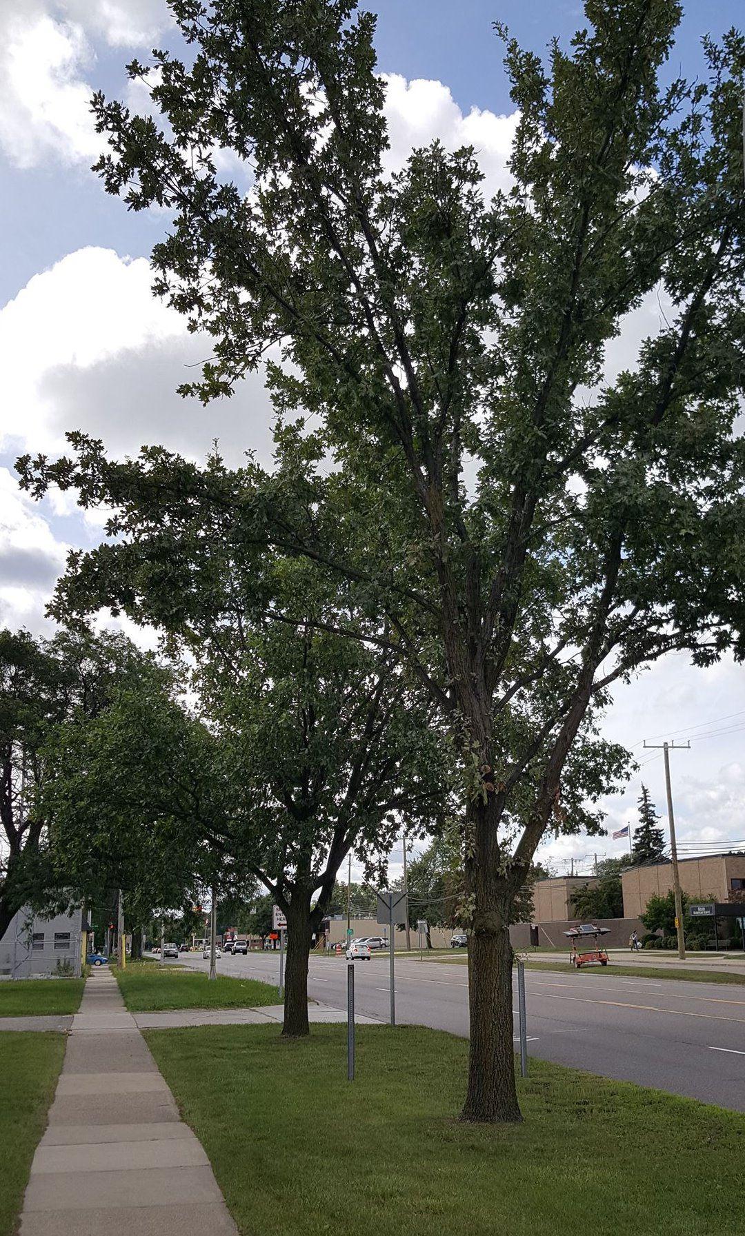 Tree Planting Program | Royal Oak, MI