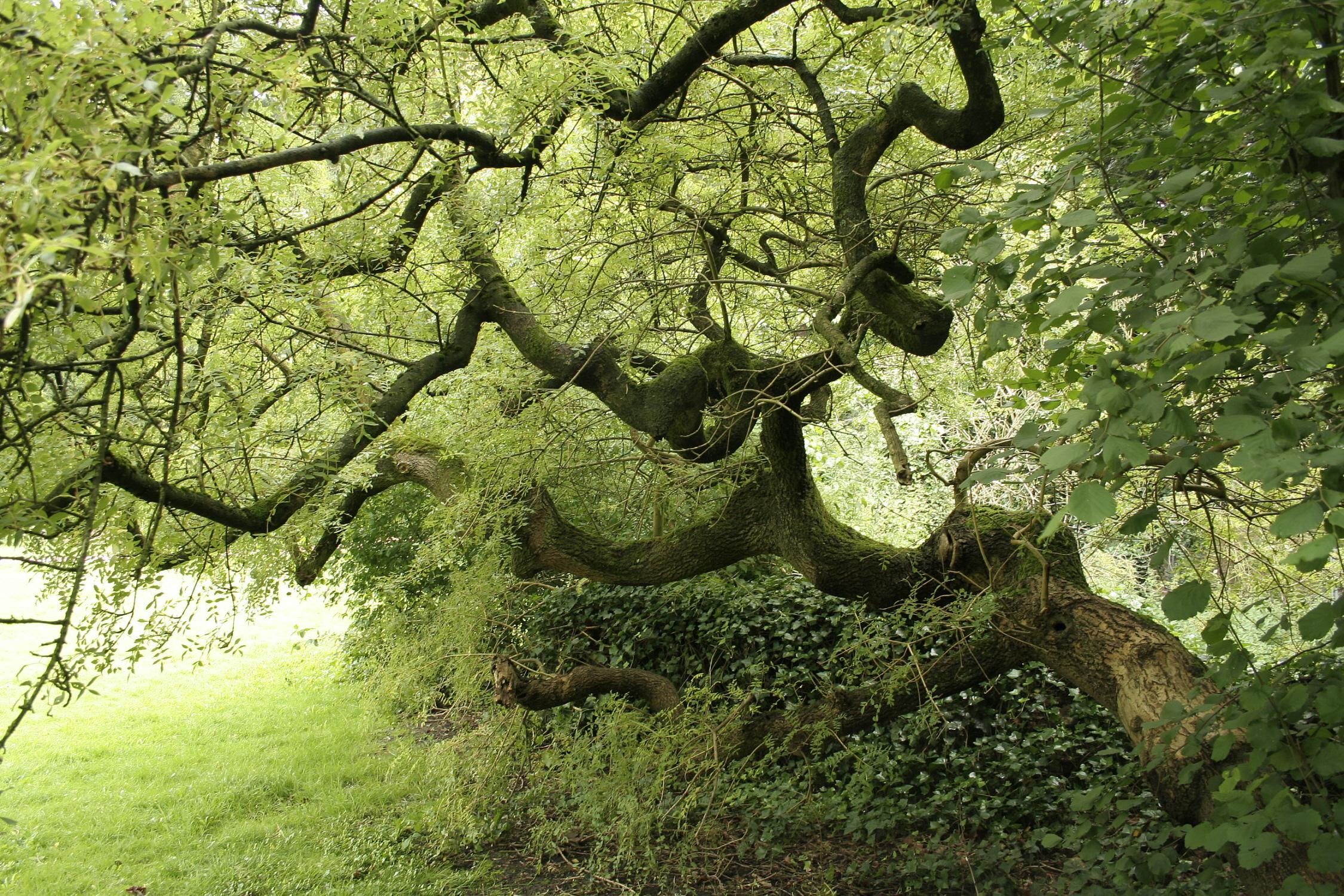 Weeping tree - Wikipedia