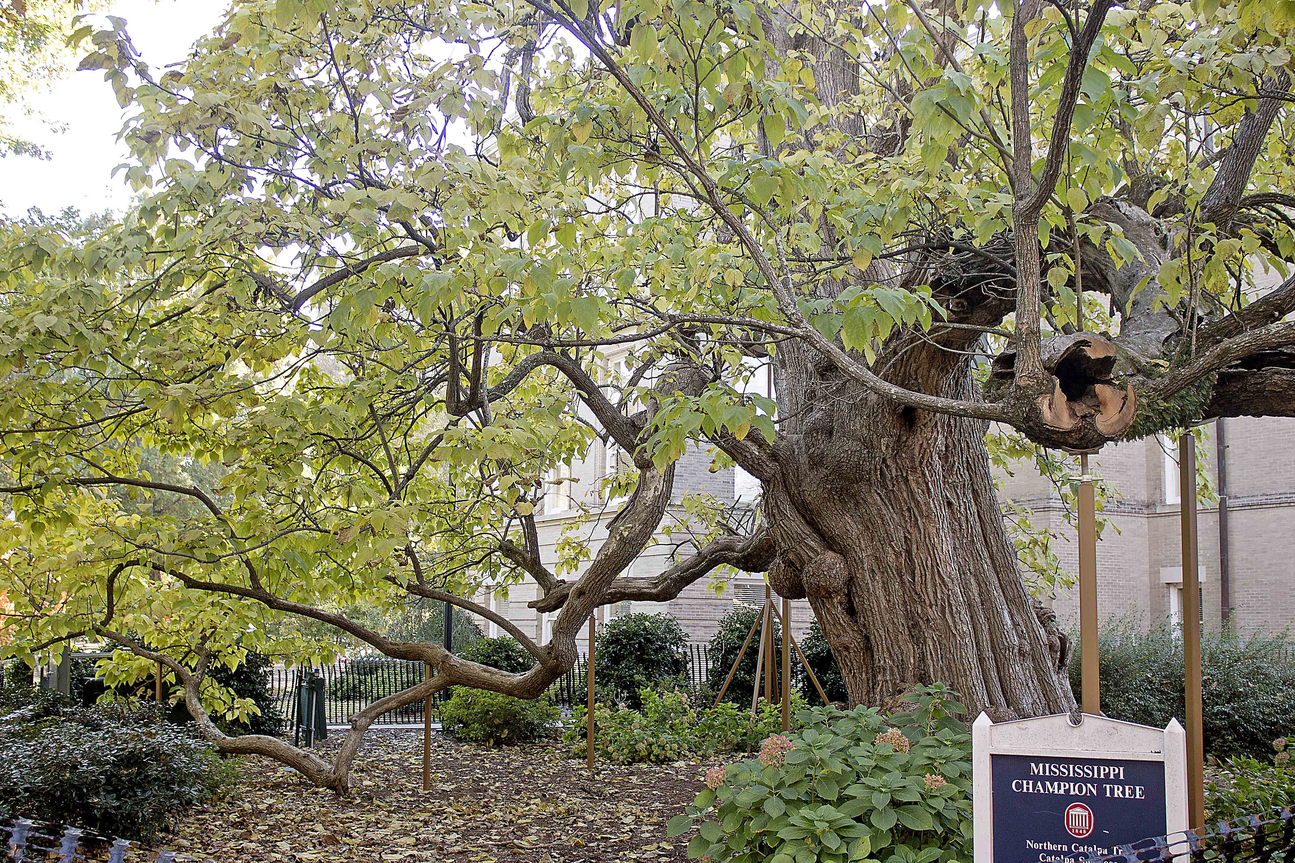 Campus 'champion trees' endure despite wear and tear - The Daily ...