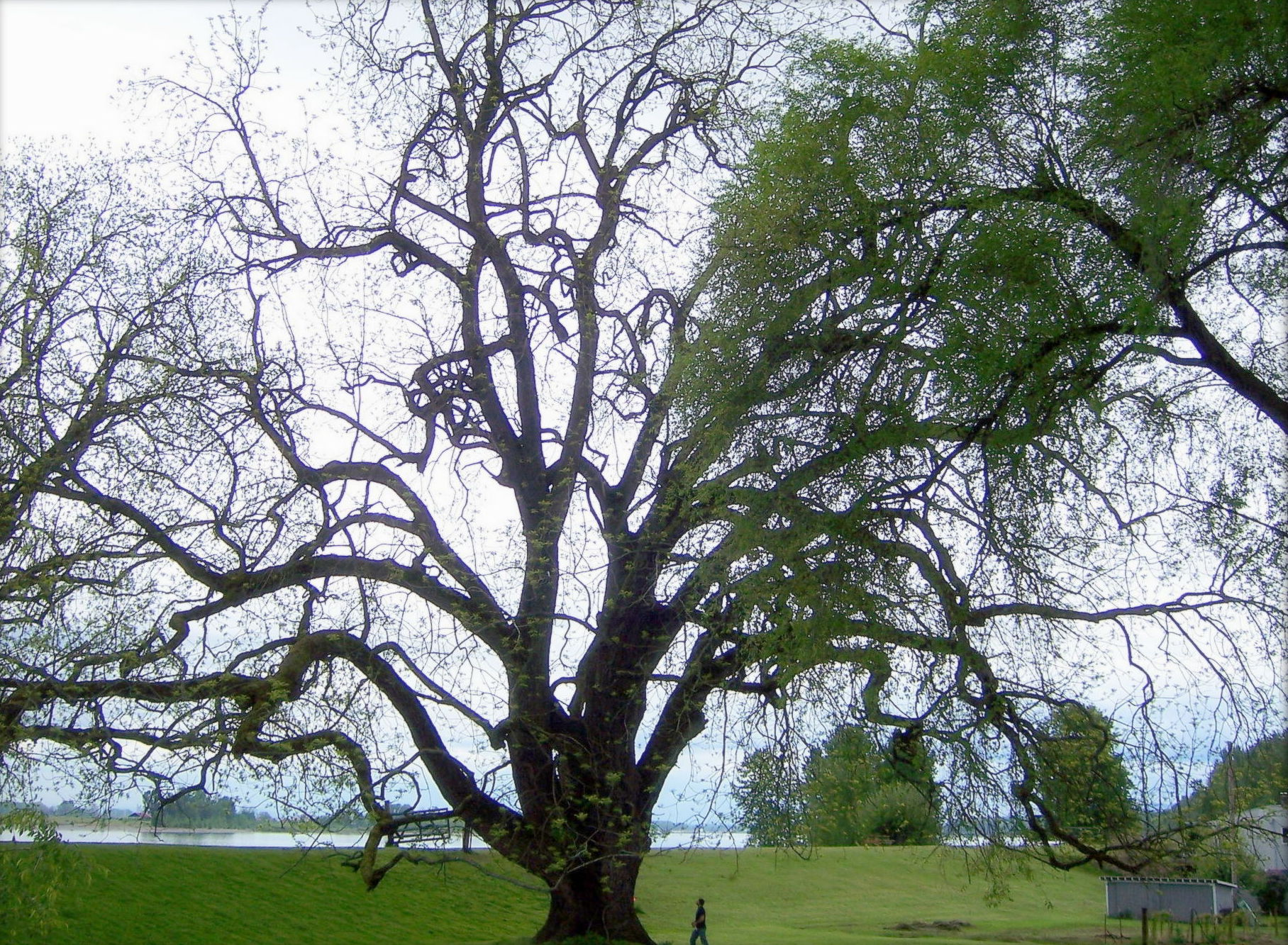 Black Walnut Tree facts garden id toxic | The Old Farmer's Almanac