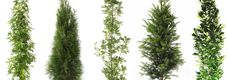 12 Great Columnar Trees for Your Landscape - Bower & Branch