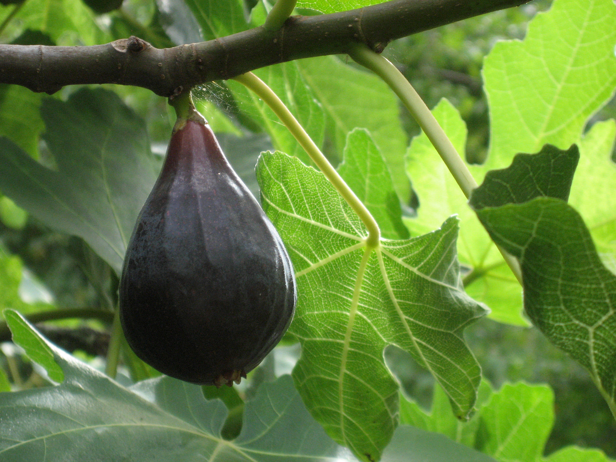 Deciduous Fruit Trees - Berkeley Horticultural Nursery Berkeley ...