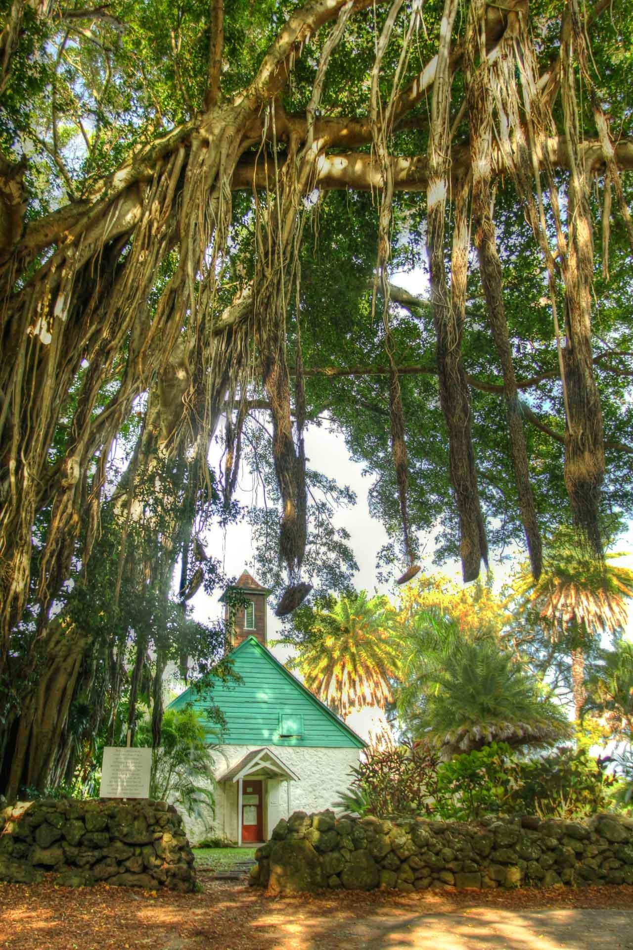 Trees Of Maui   Uses & Stories   Banyan, Koa, Sandalwood, Coconut