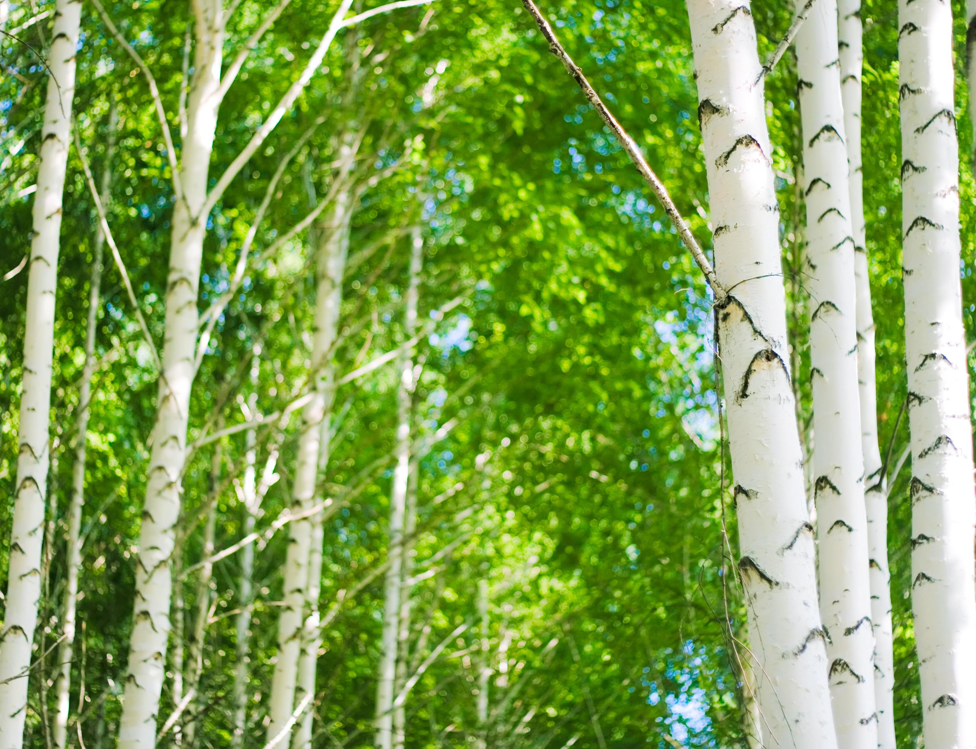 trees, Birch, Con2011, Countryside, Landscape, HQ Photo