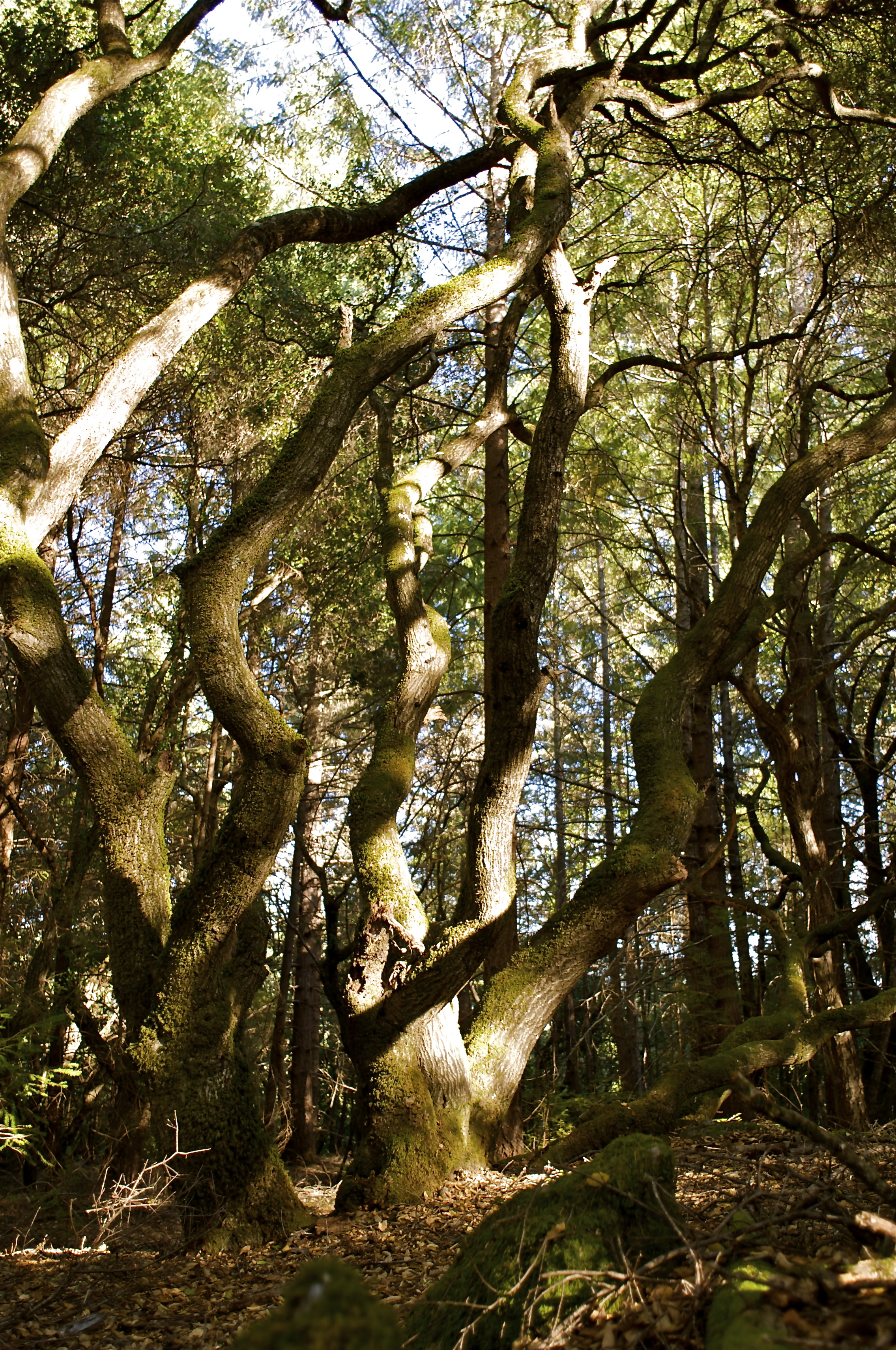 Trees, California, Forest, Guerneville, Landscape, HQ Photo