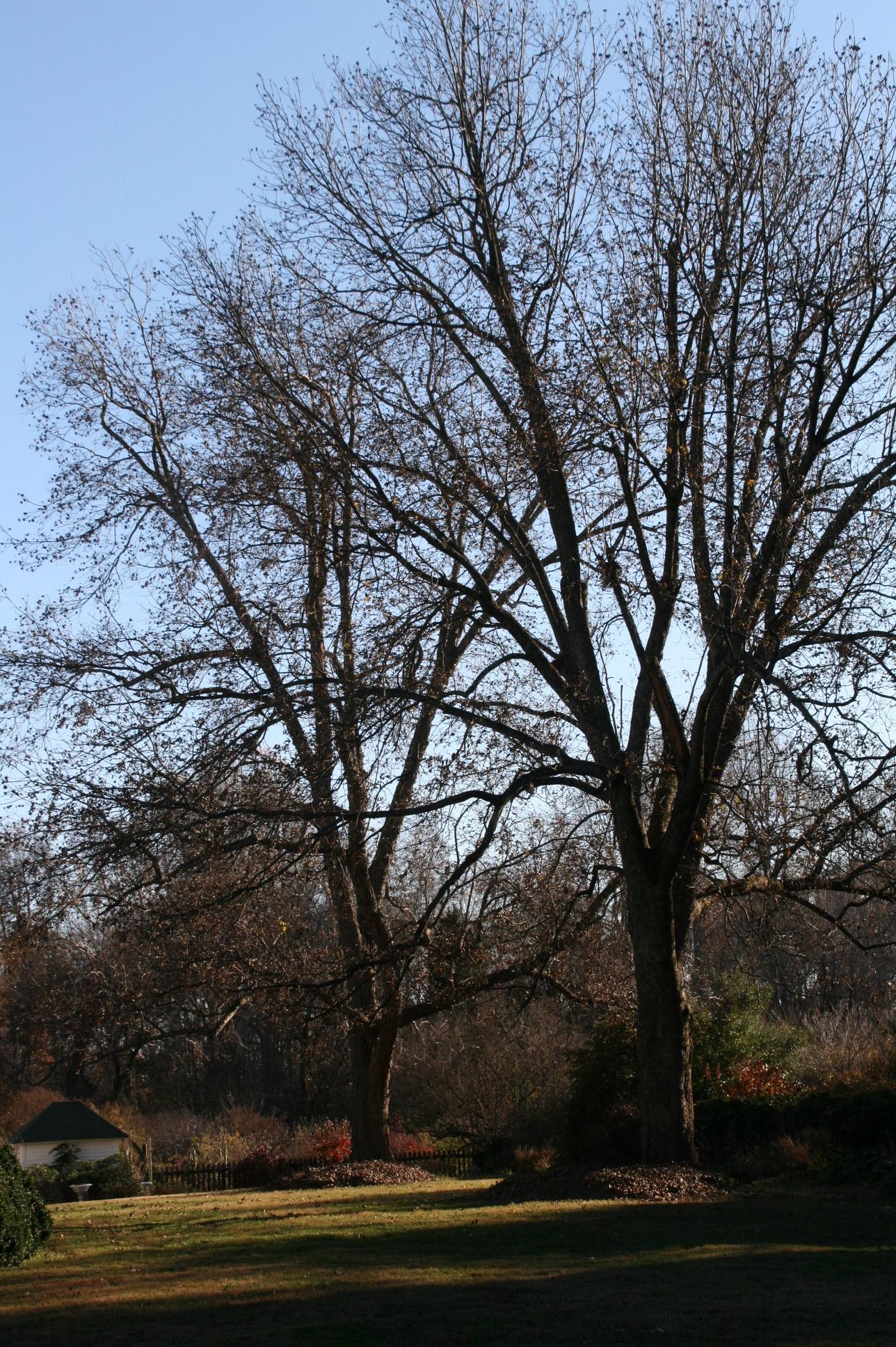 Montrose Opened For Fall Flowering Galanthus elwesii var ...