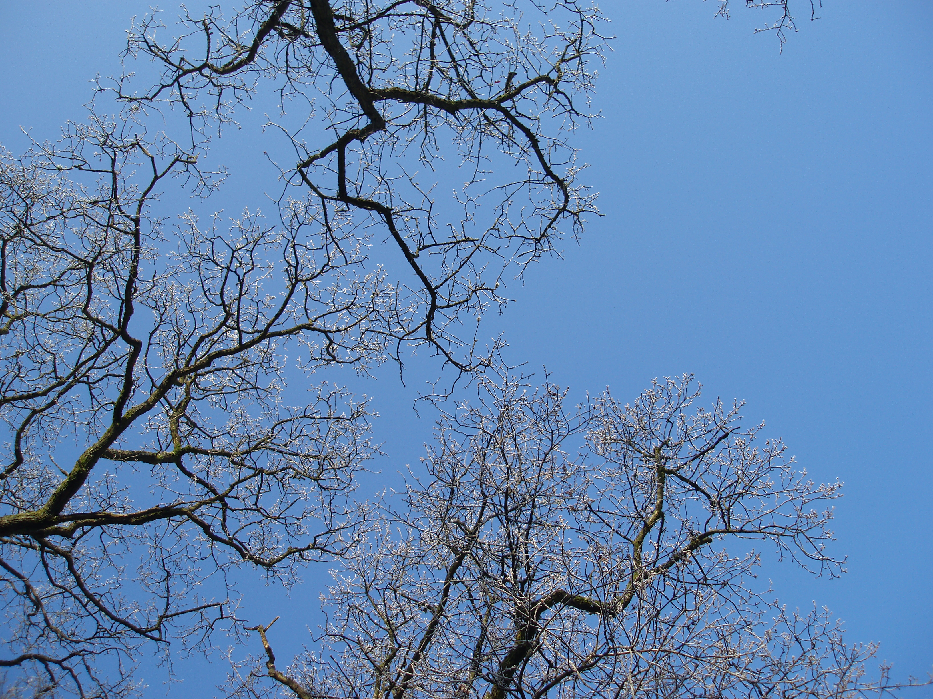 winter trees against a blue sky | Free backgrounds and textures ...