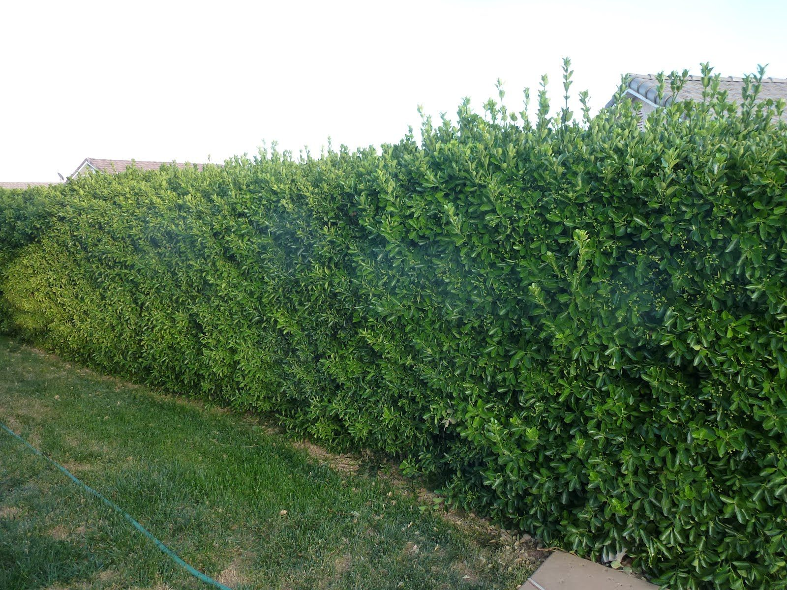 trees or bushes for privacy fence | Shrubs are awesome for privacy ...