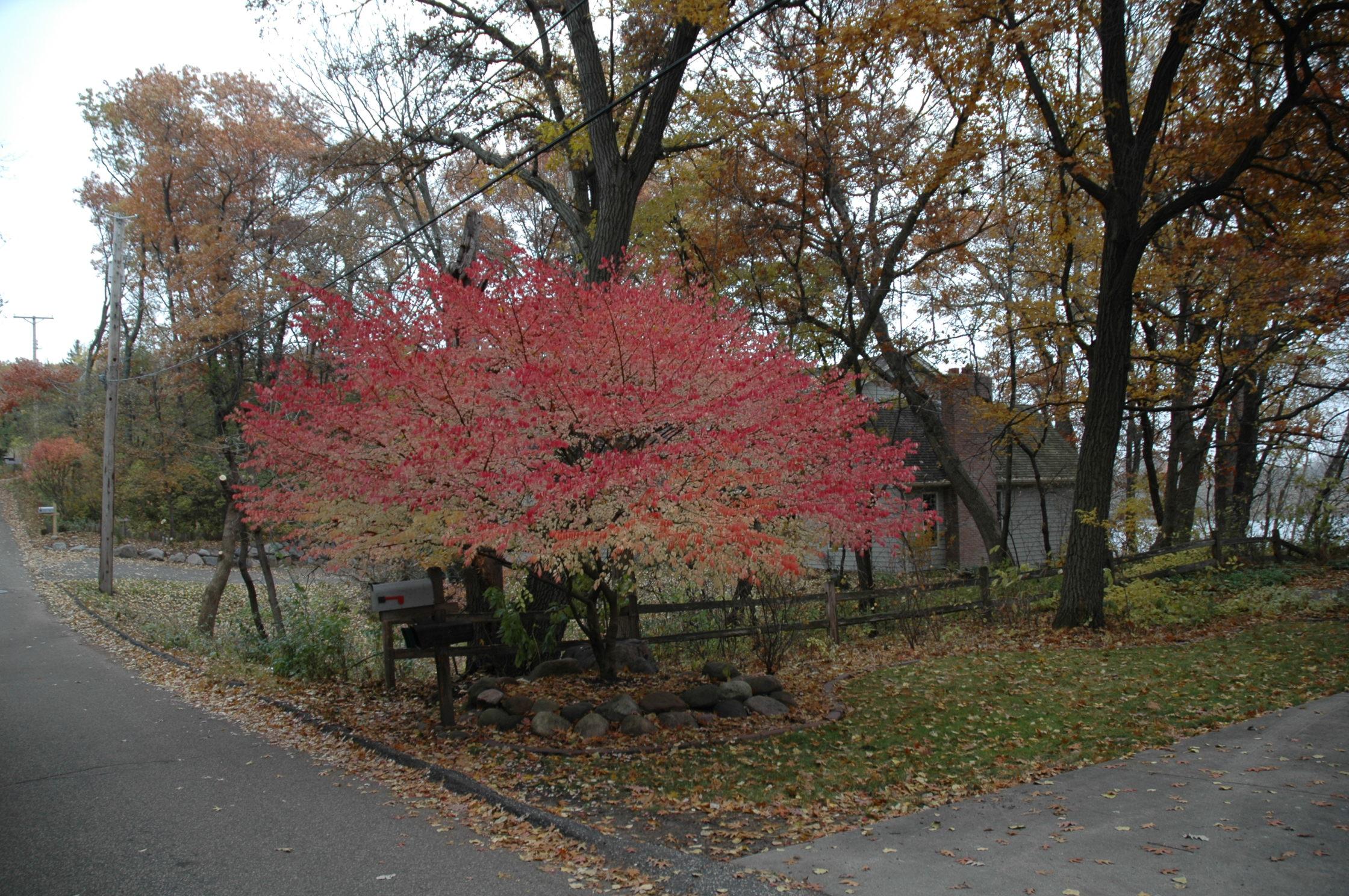 Burning Bush (Euonymus alatus) : UMN Extension