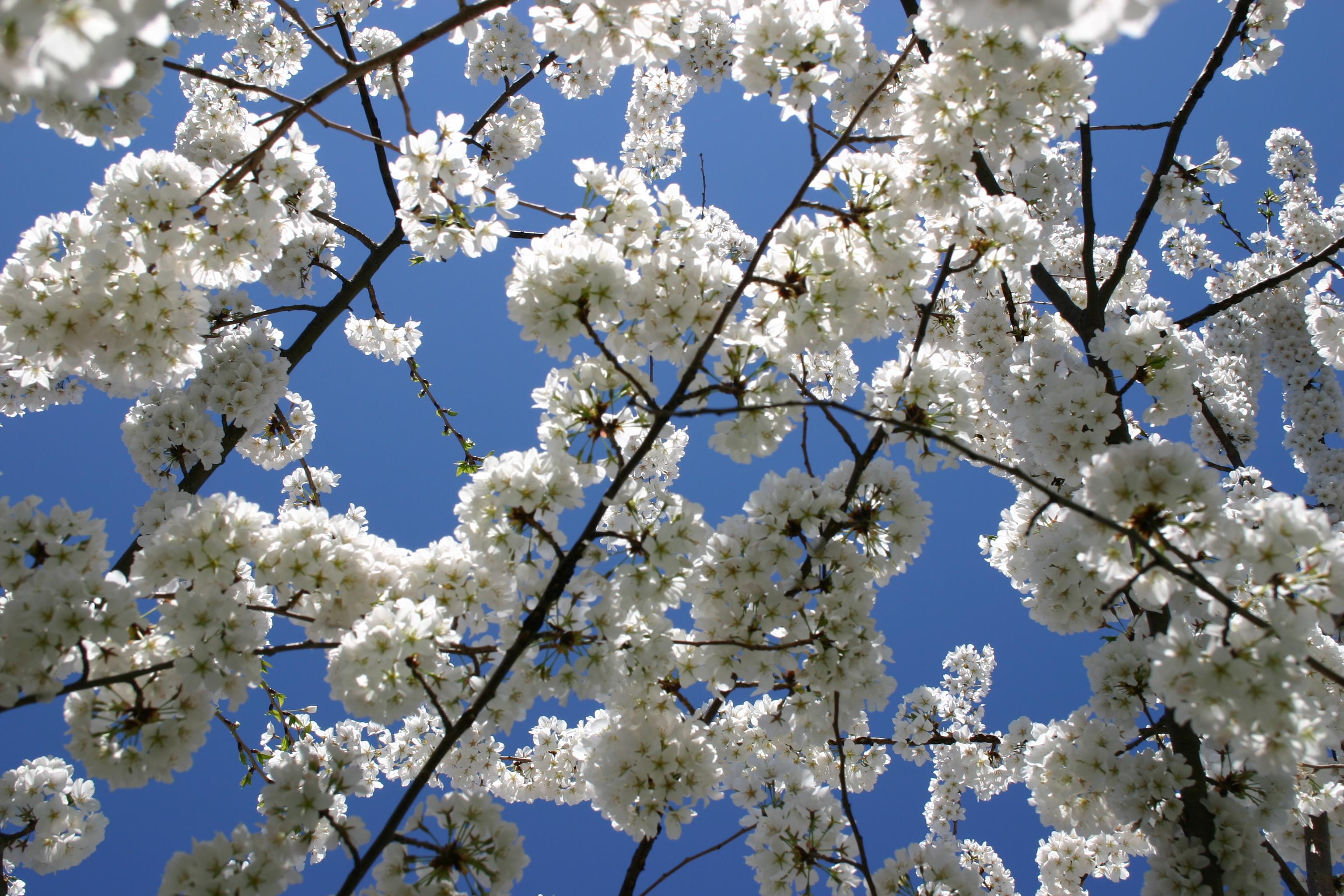 Free Photo Blooming Tree Tree White Summer Free Download Jooinn