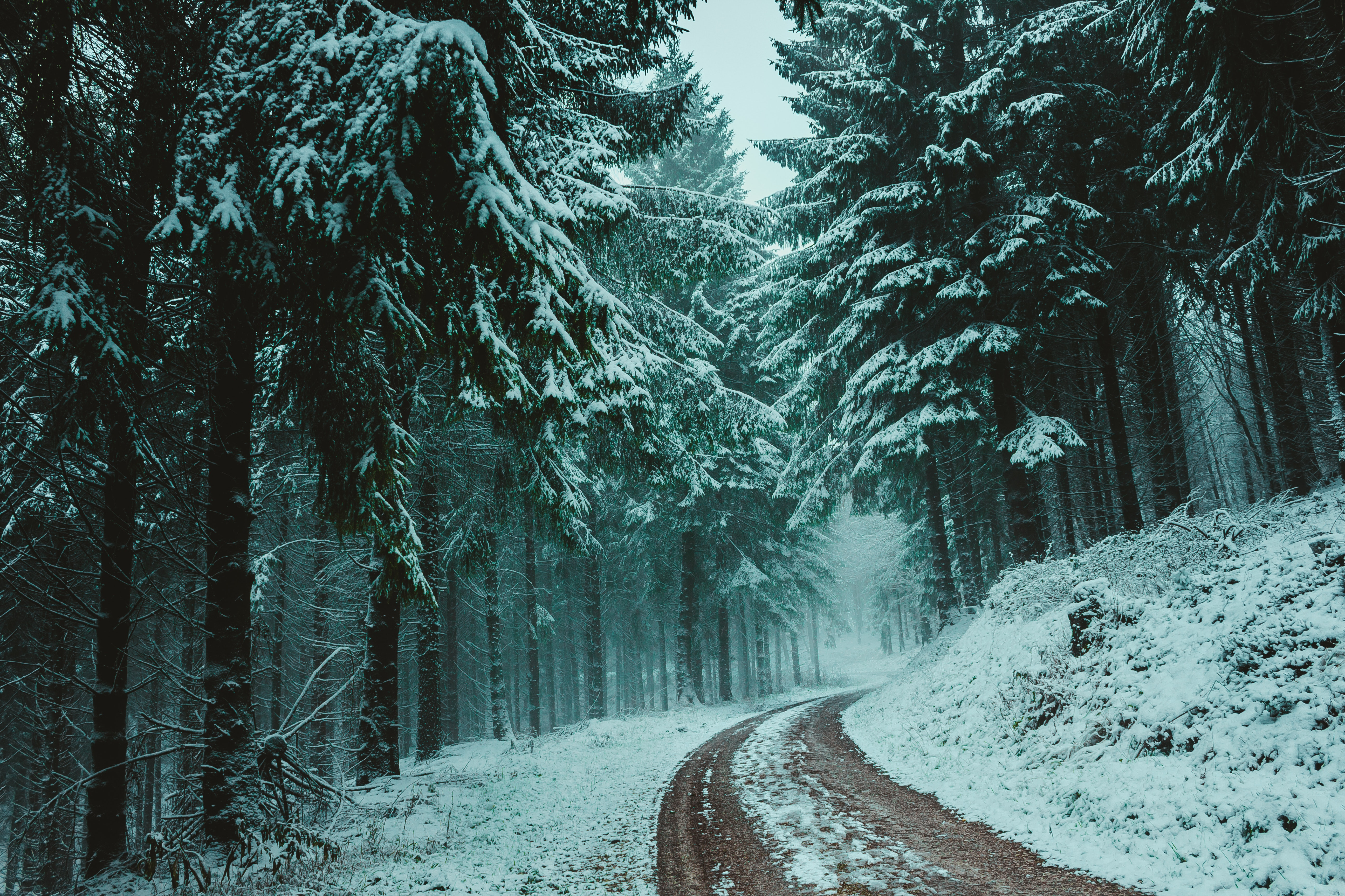 Trees Covered With Snow, Pine trees, Road, Scenery, Outdoors, HQ Photo
