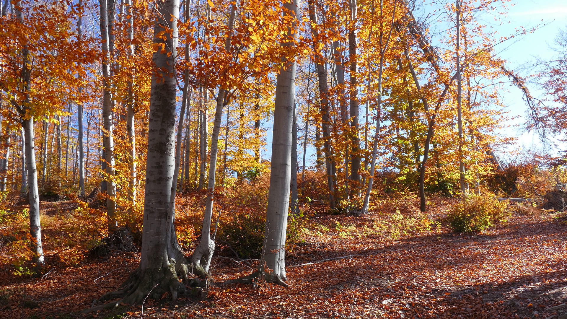 Autumn in beech forest. Beautiful trees during fall of the leaf ...