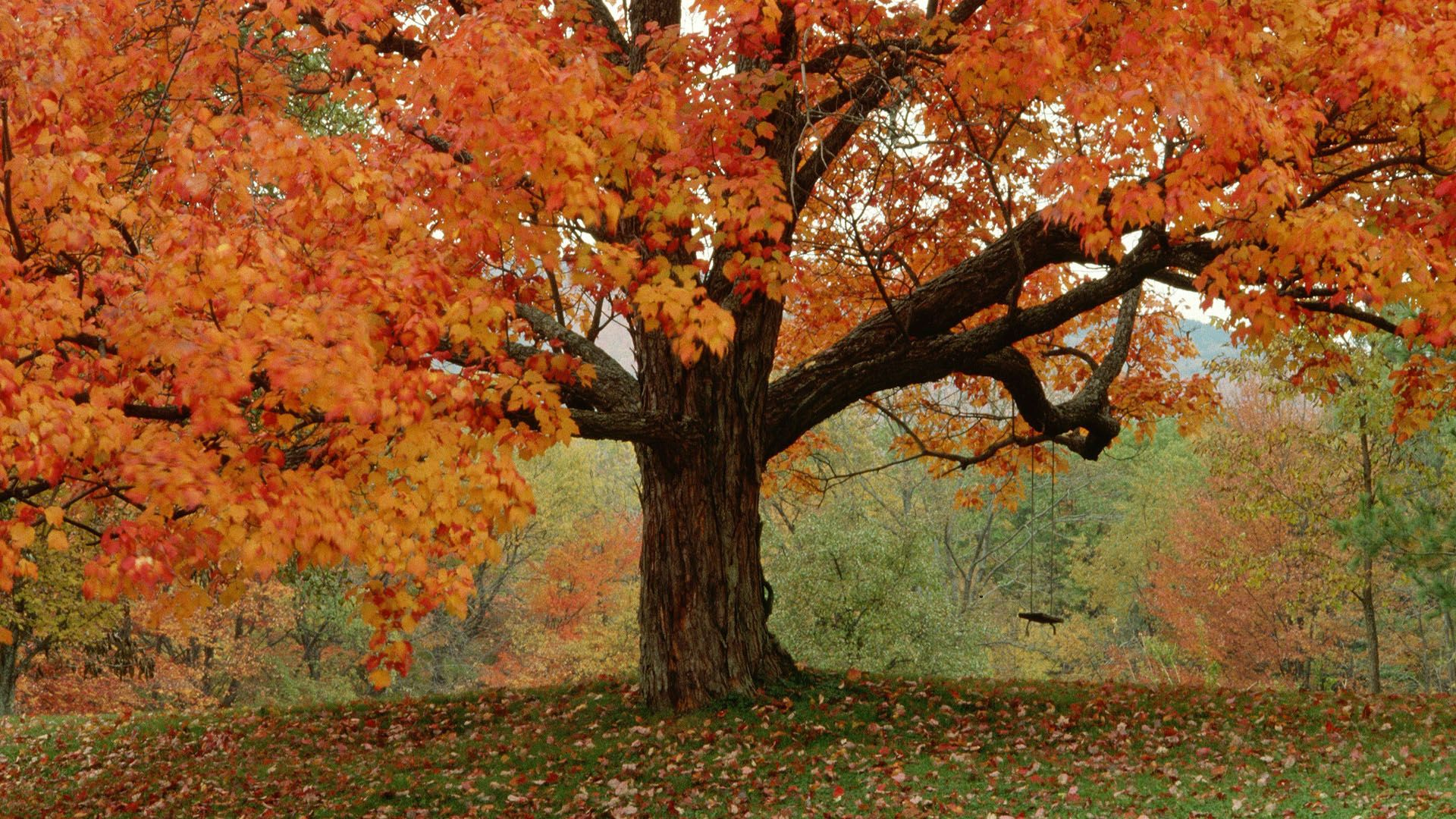 Autumn Tree Wallpaper WallpaperSafari | Осень | Pinterest | Autumn ...