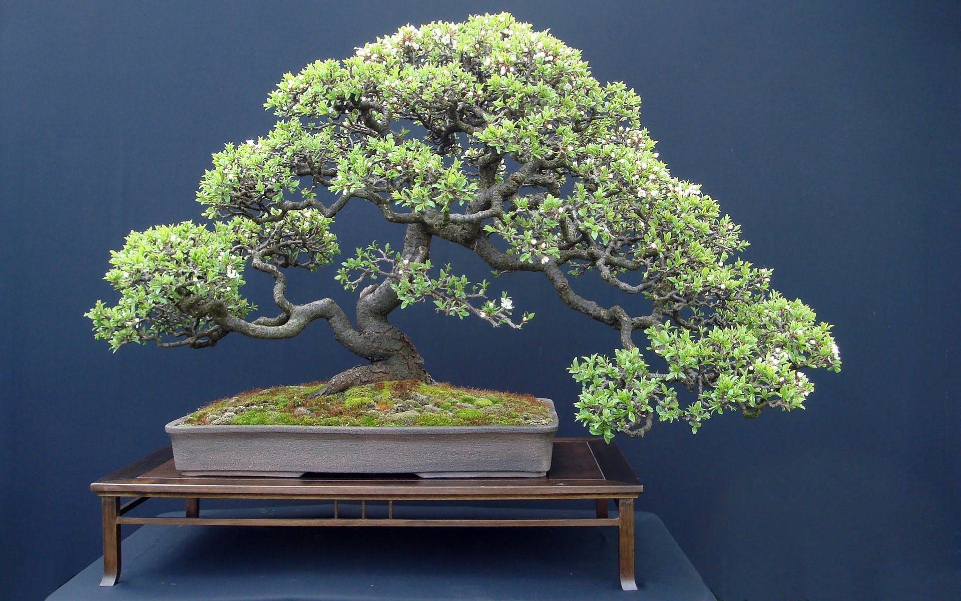 the Trident Maple Bonsai tree (Acer Buergerianum) - YouTube
