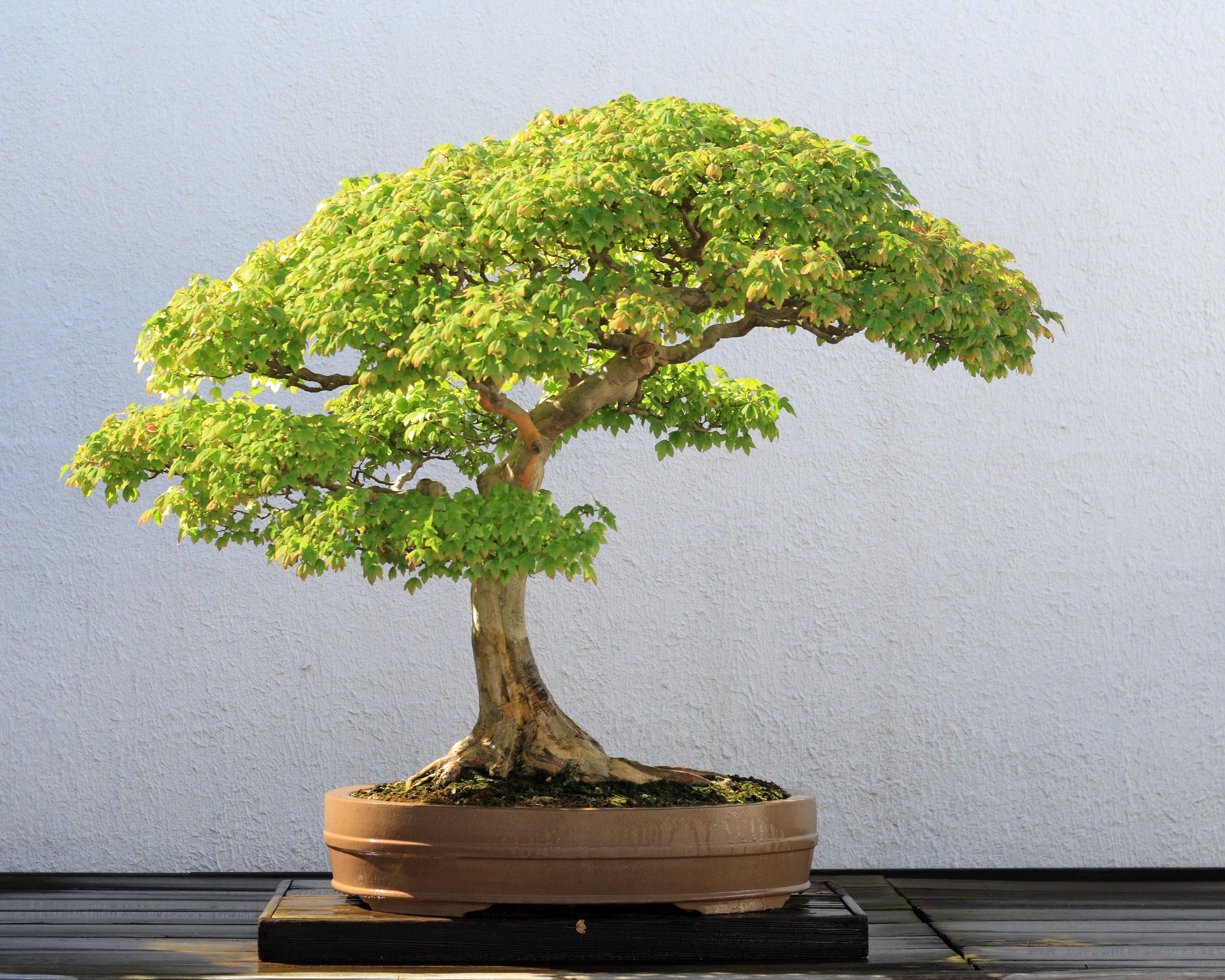 Trident Maple Bonsai Trees (Acer buergerianum) | Bonsai Tree Gardener