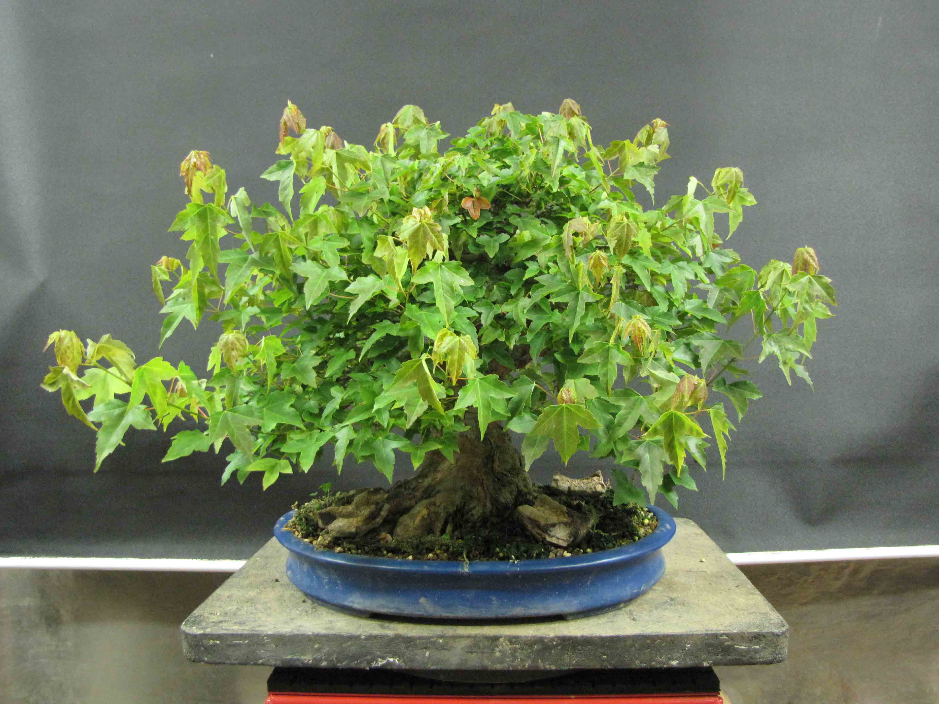 The Trident Maple Project and Summer Maple Work | Peter Tea Bonsai