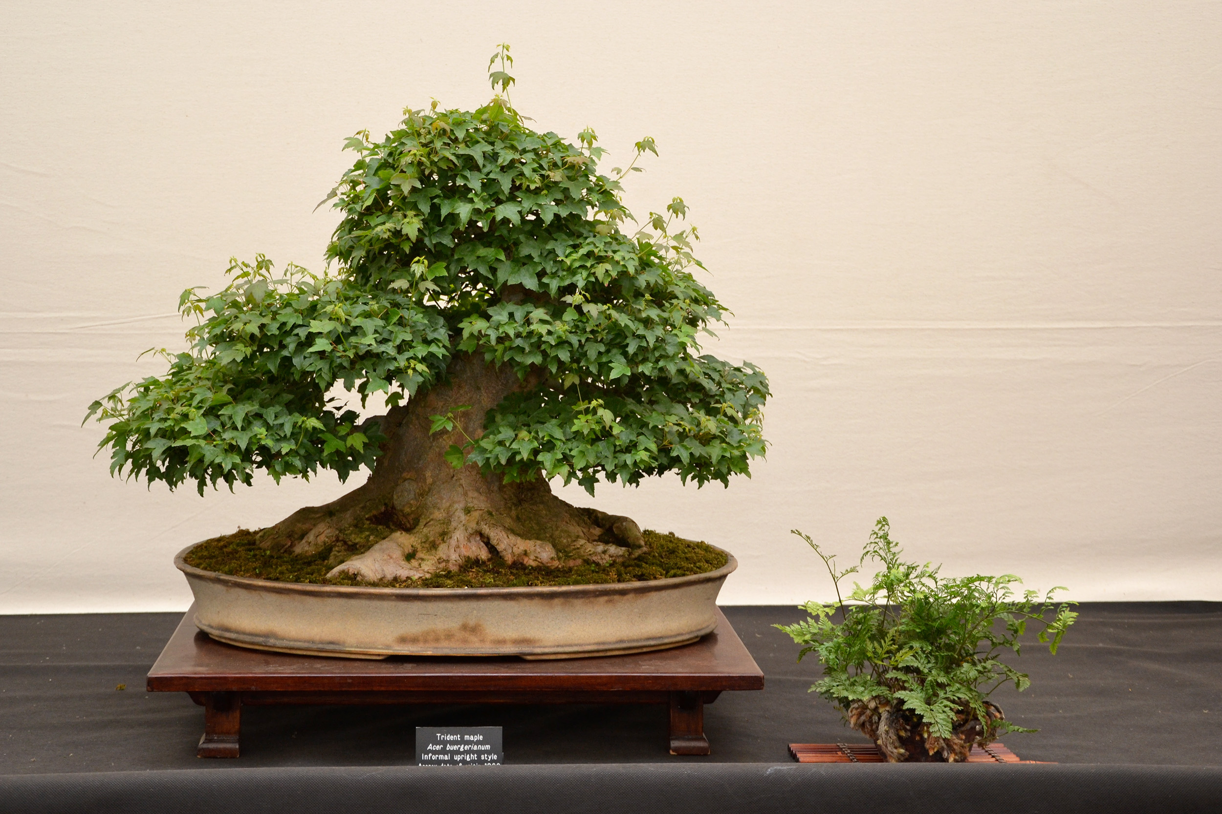 Trident maple bonsai, Acer, Pot, Moss, Old, HQ Photo