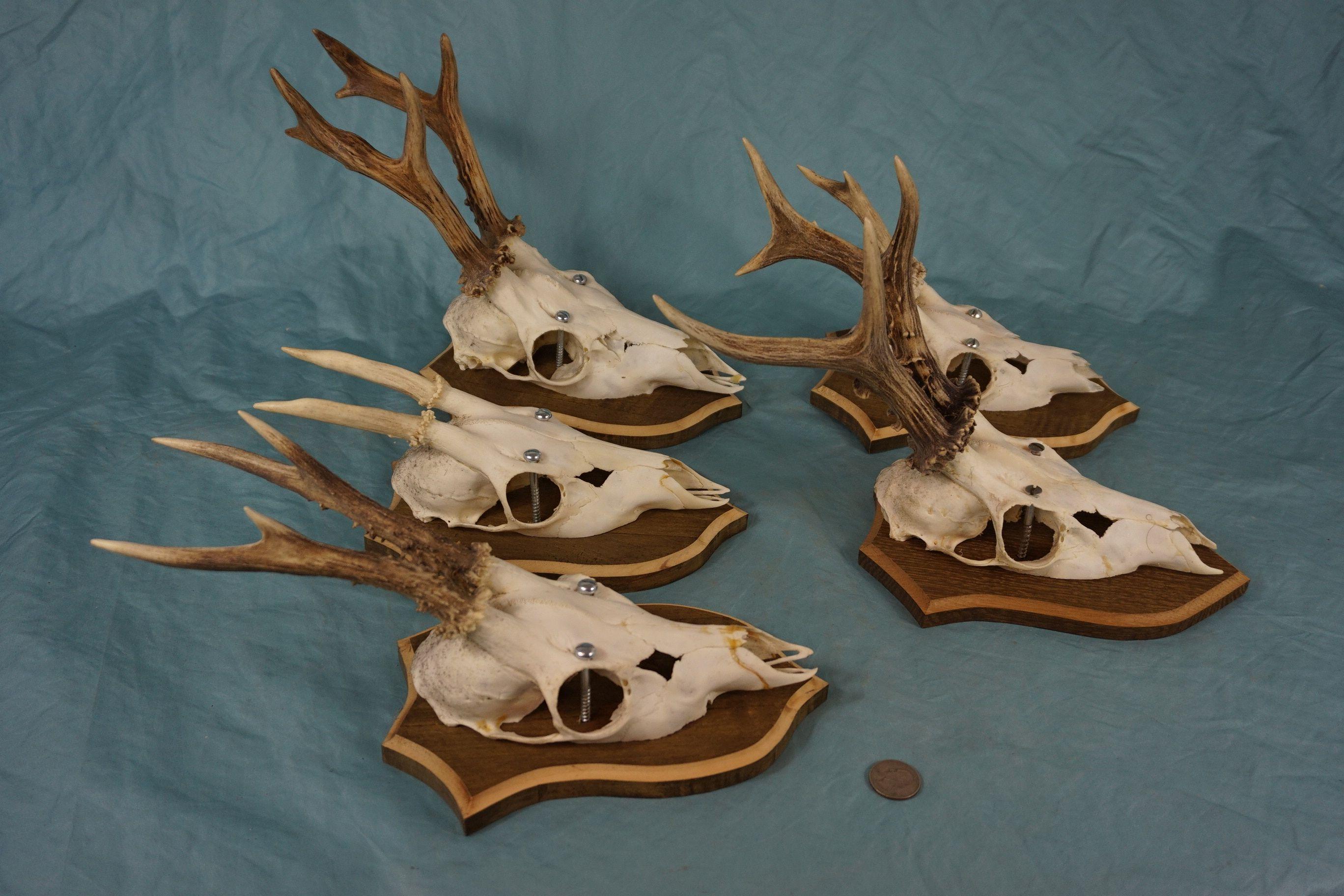 Set of Vintage Roe Deer Antlers