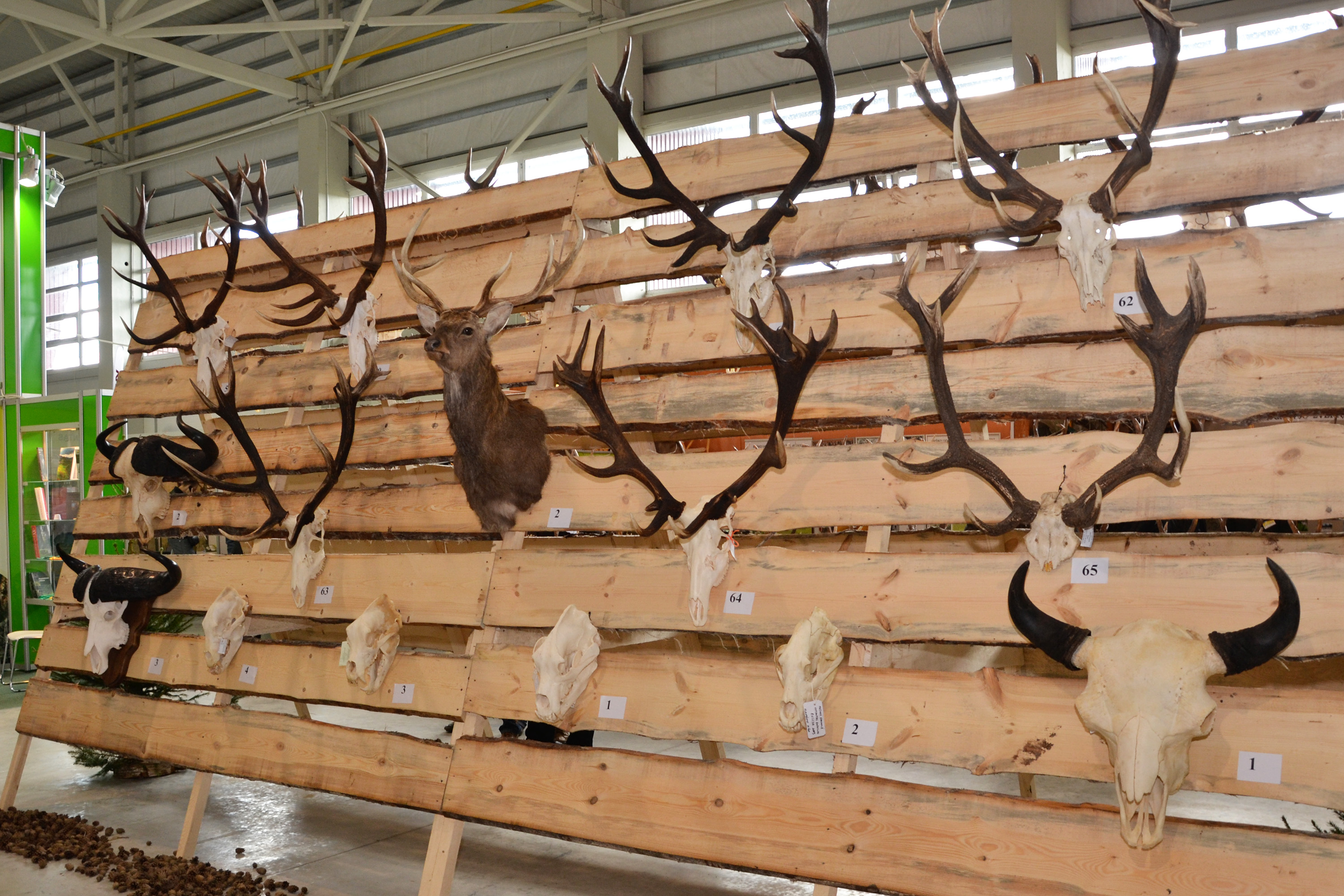Trophy antlers, Specimen, Mounting, Museum, Preservation, HQ Photo