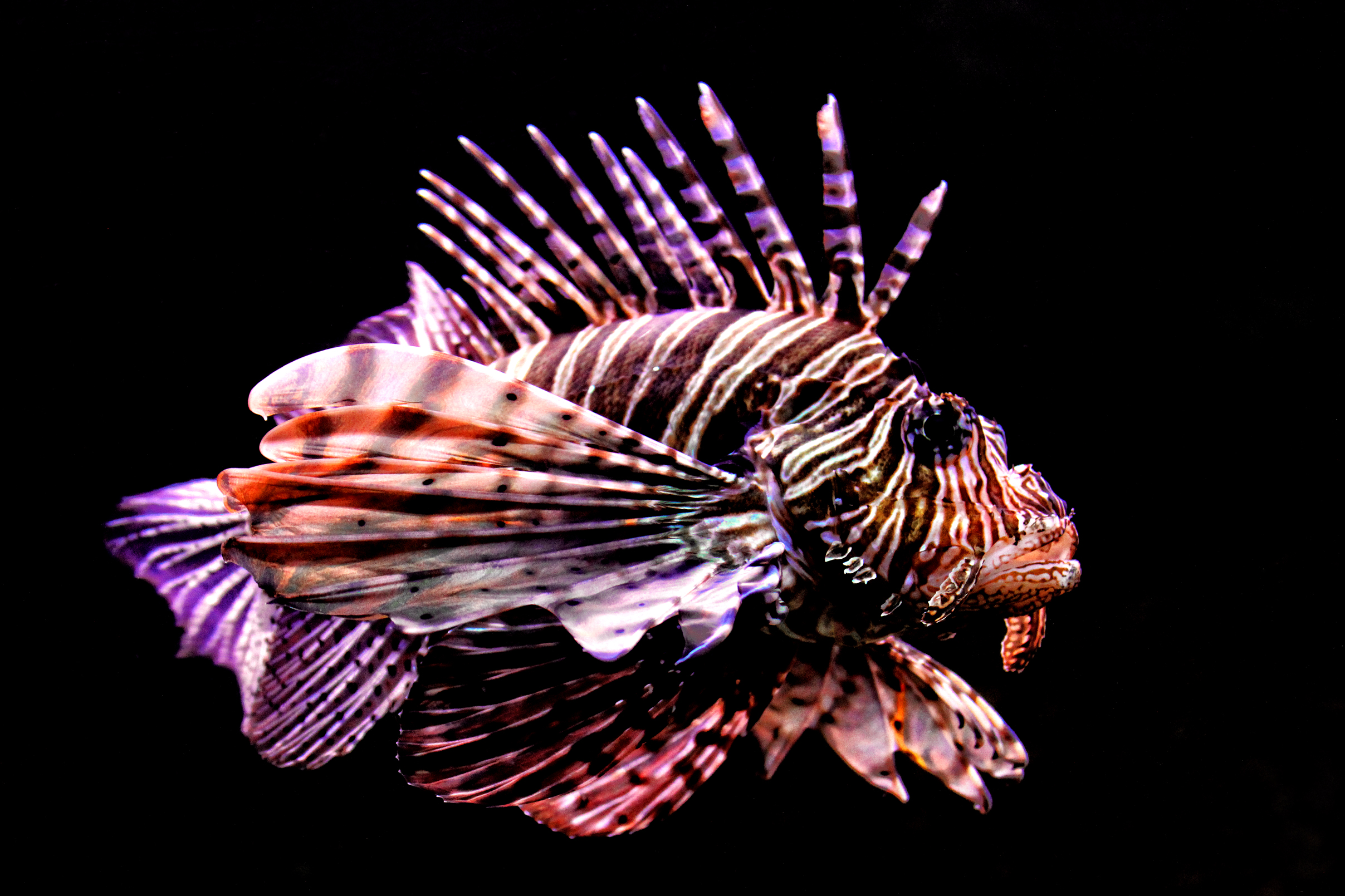 Tropical fish - red lionfish - pterois volitans photo