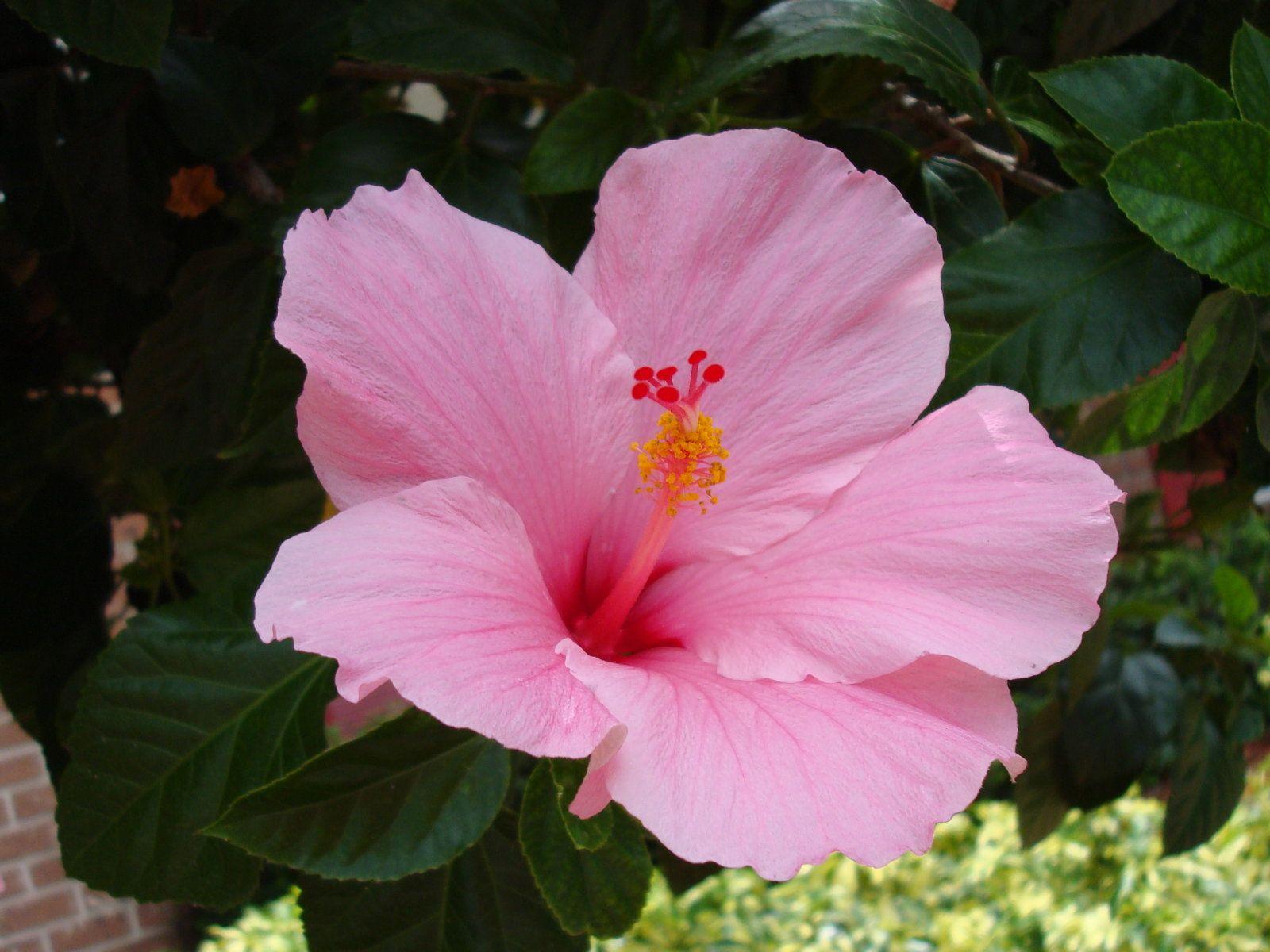 Black Hibiscus Flower   Hot Pink Flower Background   Home ...