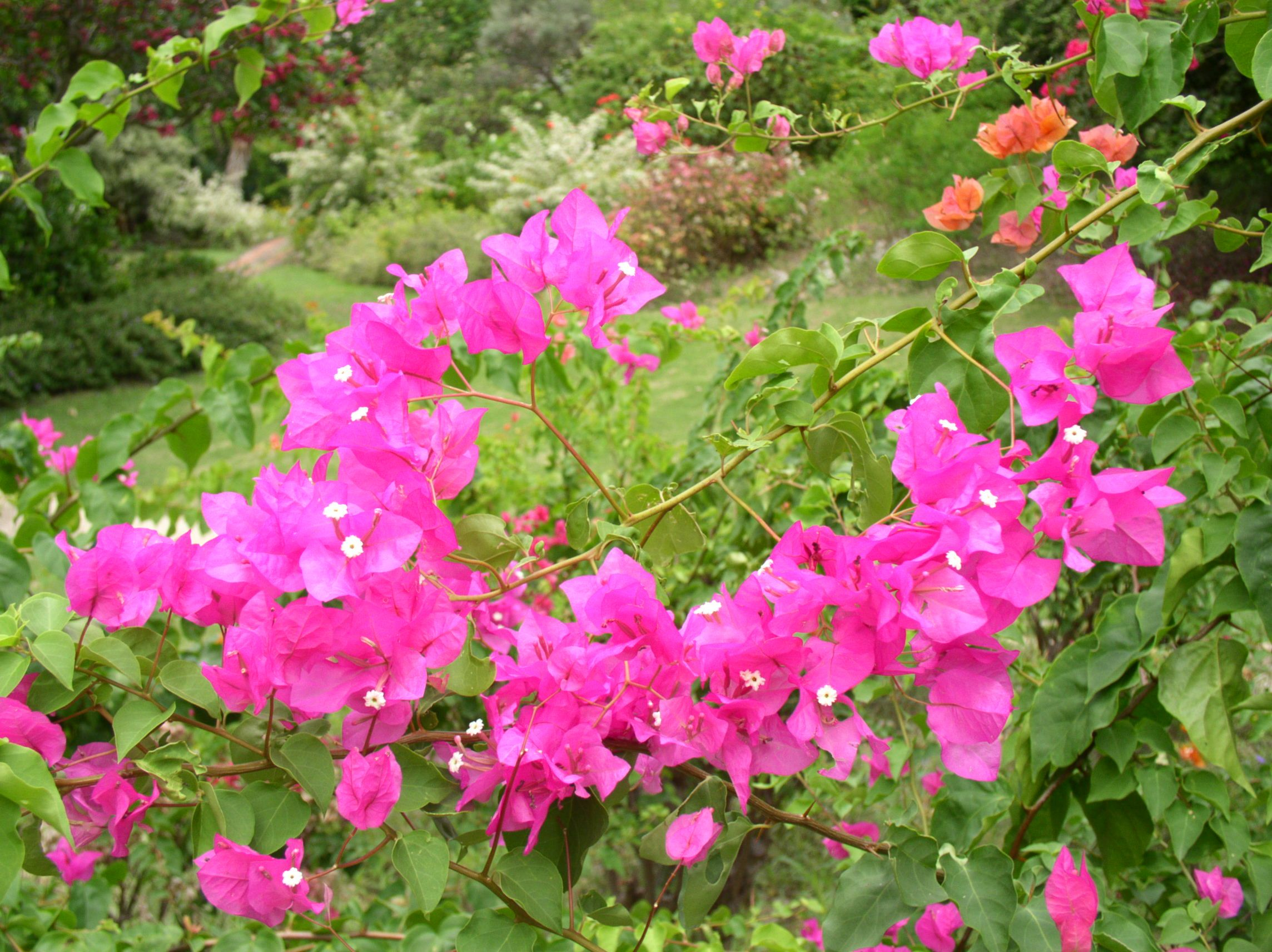 Flowers For > Pink Tropical Flowers   Tropical Flowers   Pinterest ...