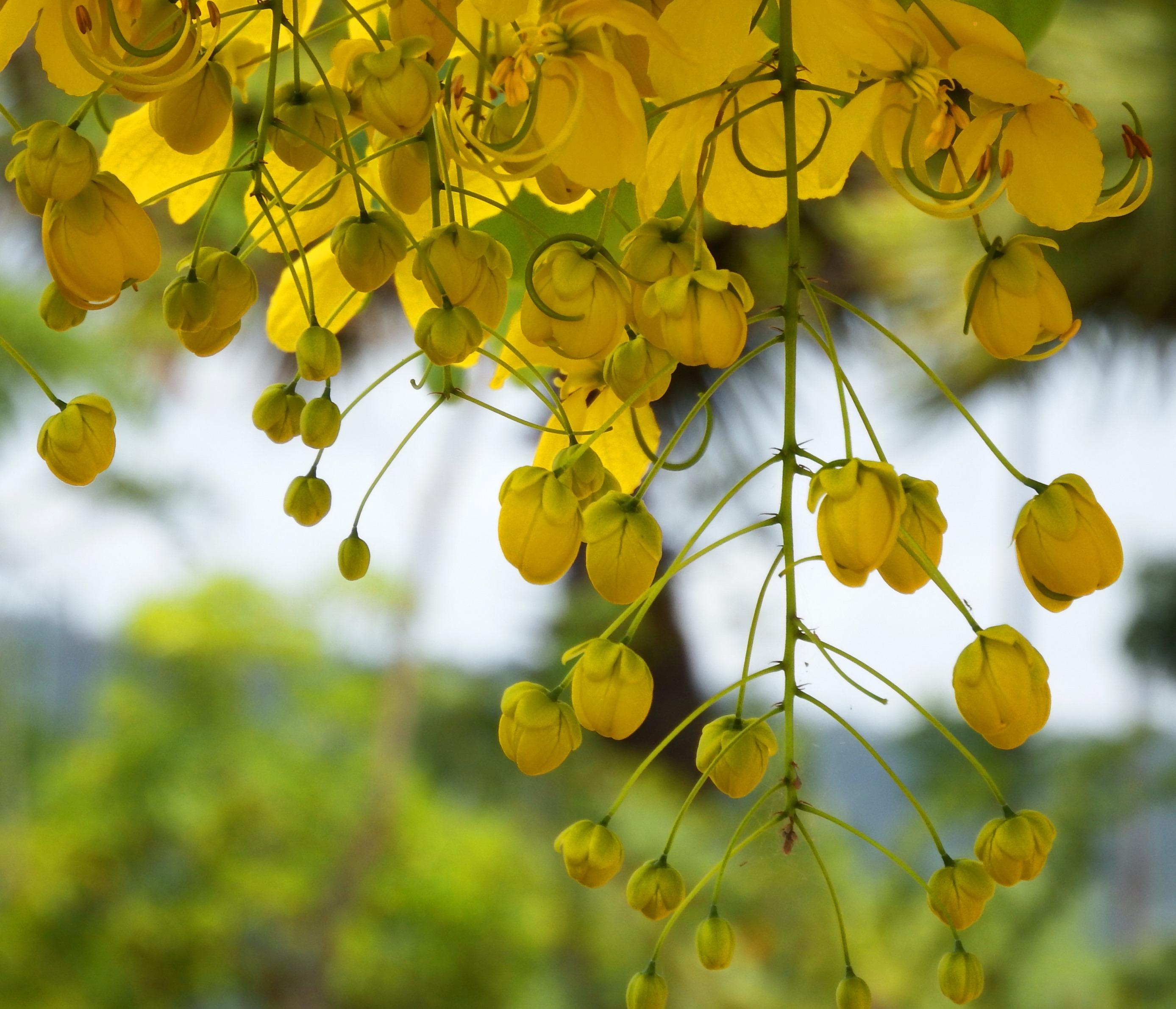 Tropical yellow blossom tree photo