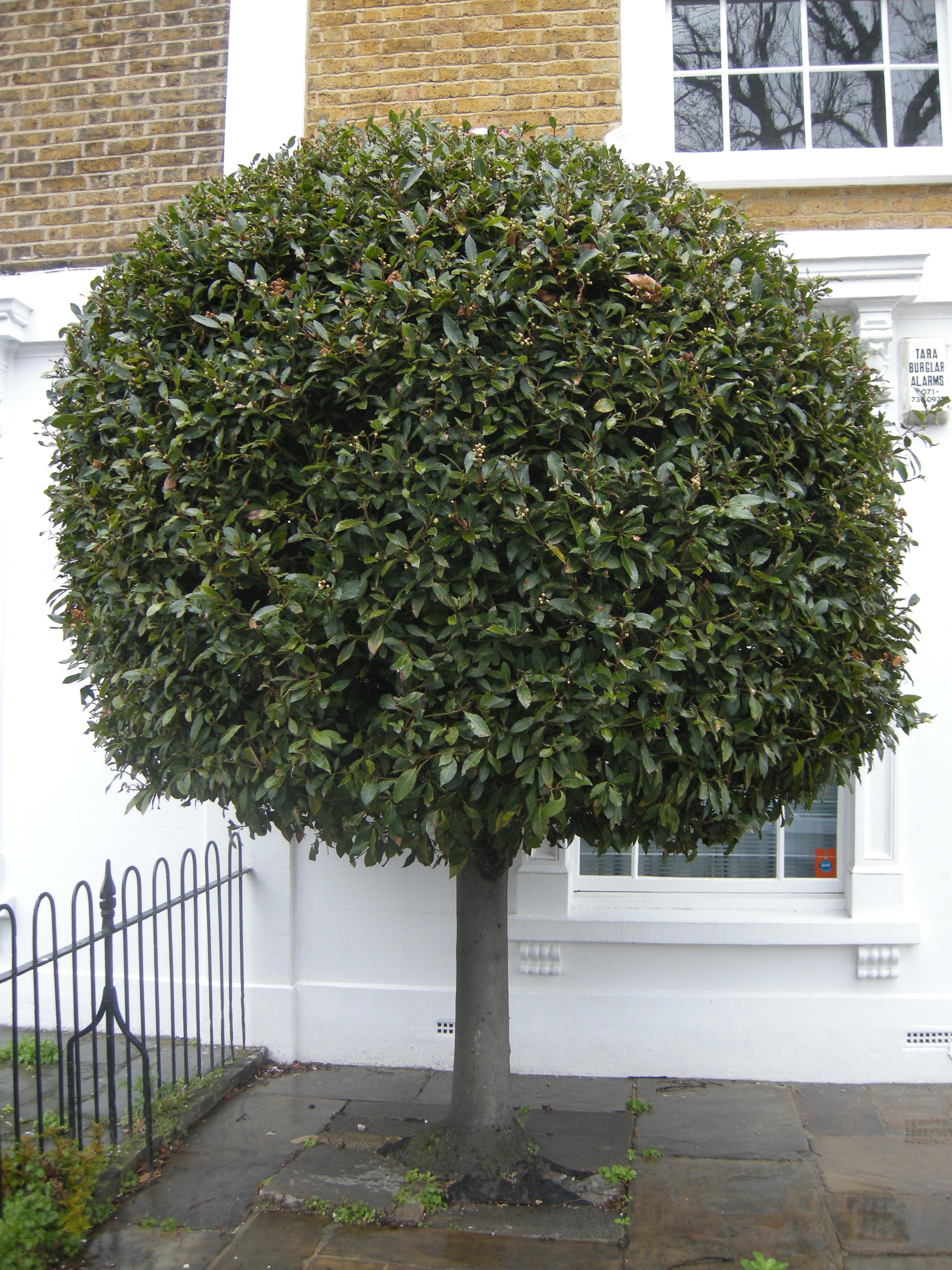 True laurel topiary photo