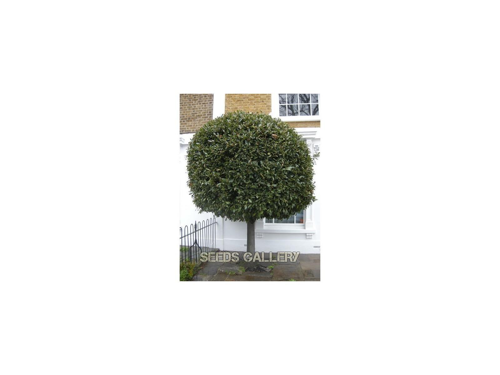 Bay Laurel Seeds , bay tree, true laurel (Laurus nobilis)
