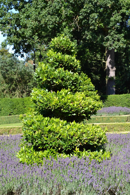 True laurel topiary, Aromatic, Lavandula, Violet, Tree, HQ Photo