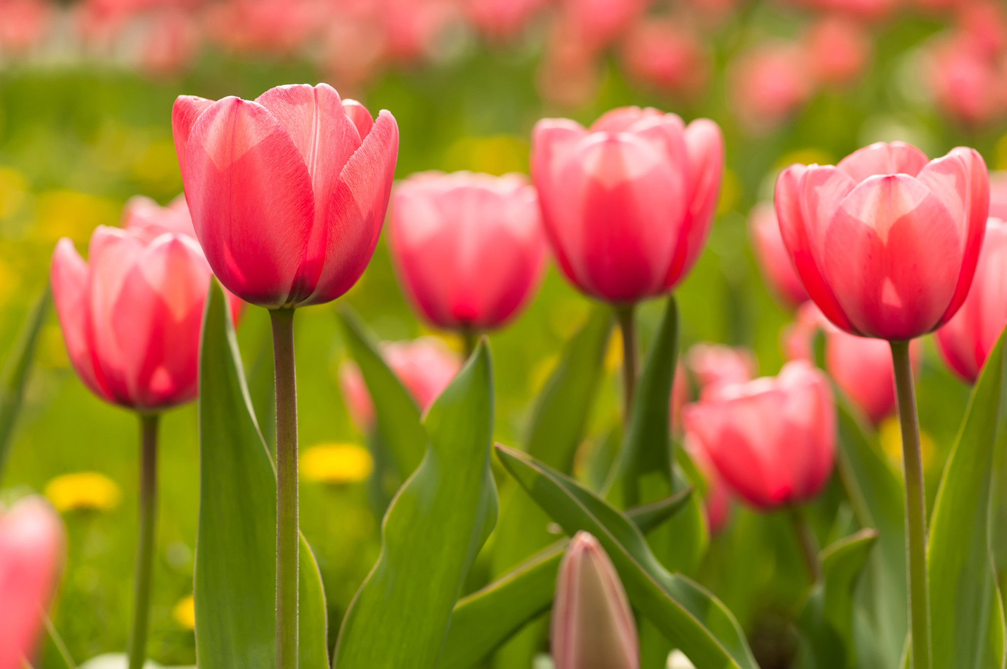 If you want tulips to return, here are some tips - Chicago Tribune