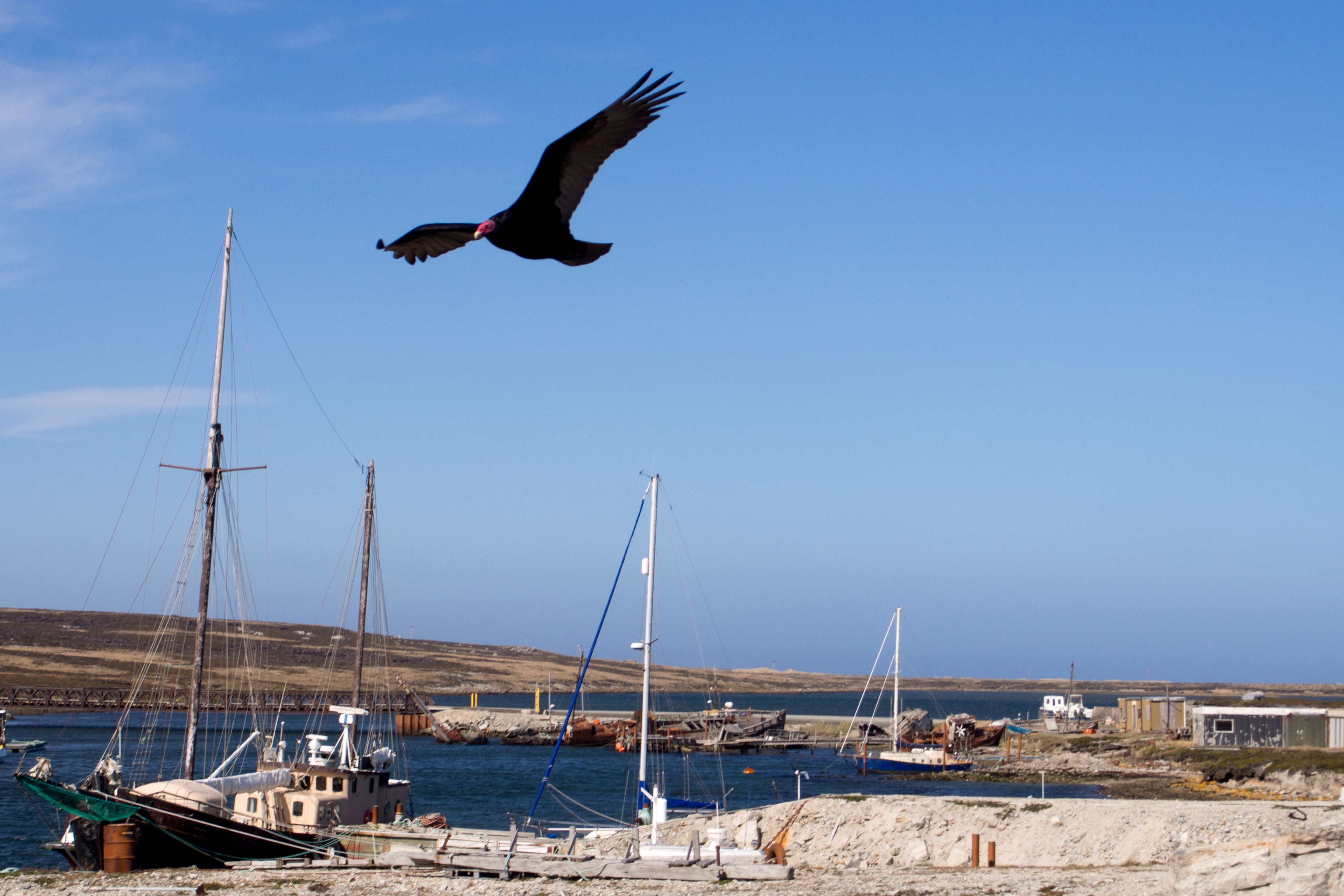 turkey vulture flying over harbour, Bird, Boats, Flying, Harbor, HQ Photo