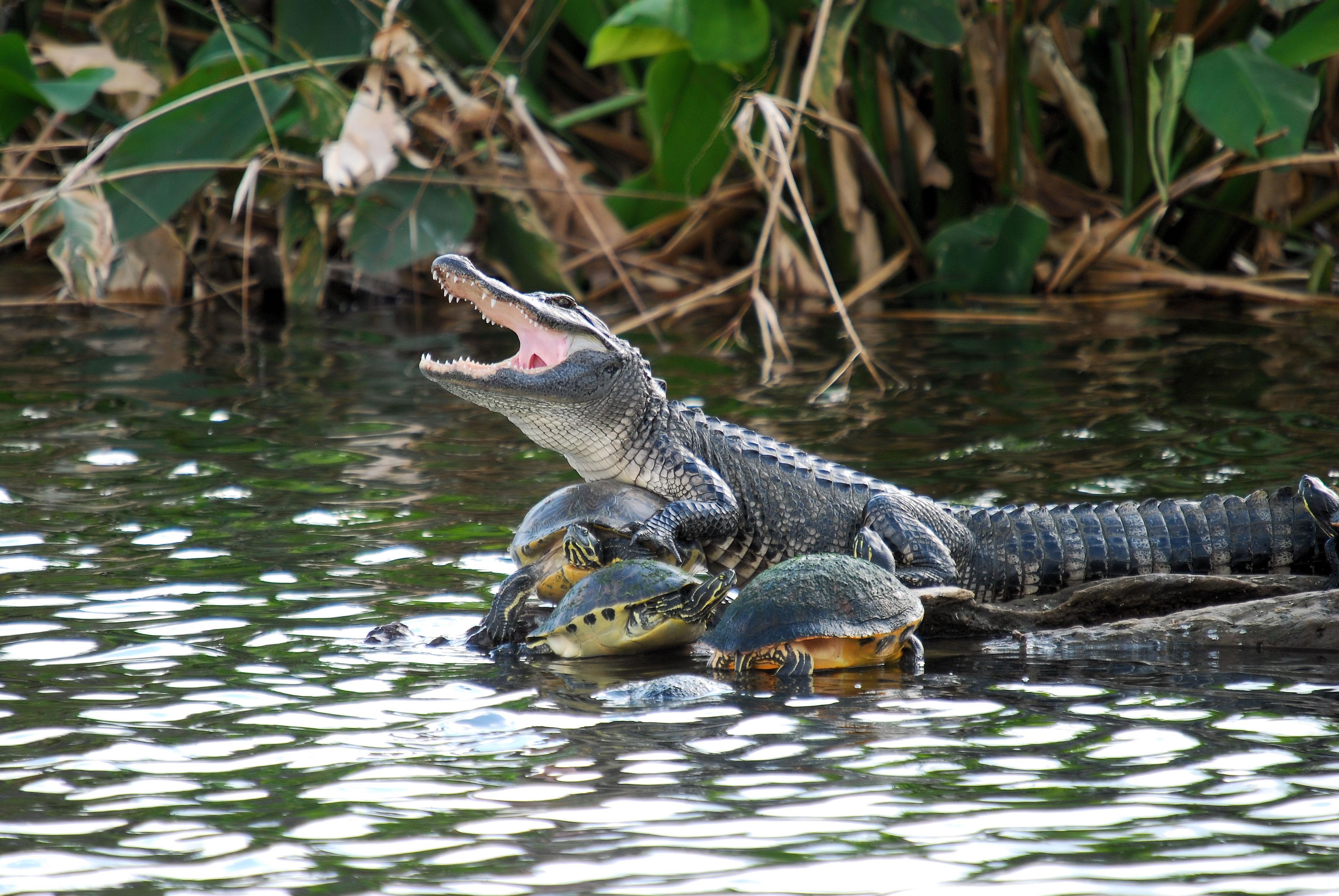 Turtle Collector, Alligator, Animal, Florida, Gator, HQ Photo