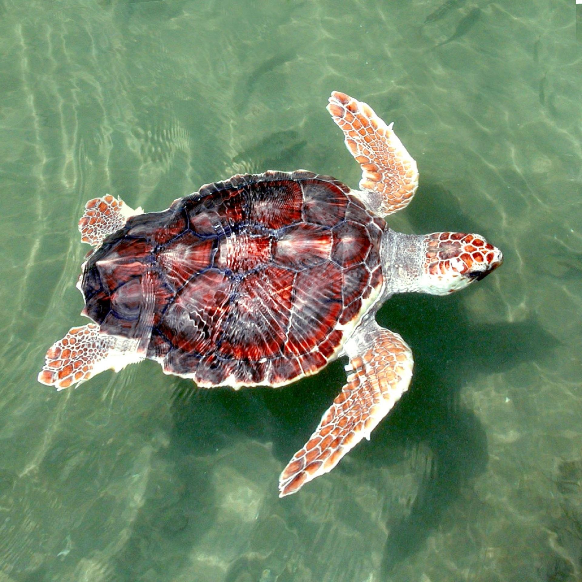 Turtle in the ocean photo