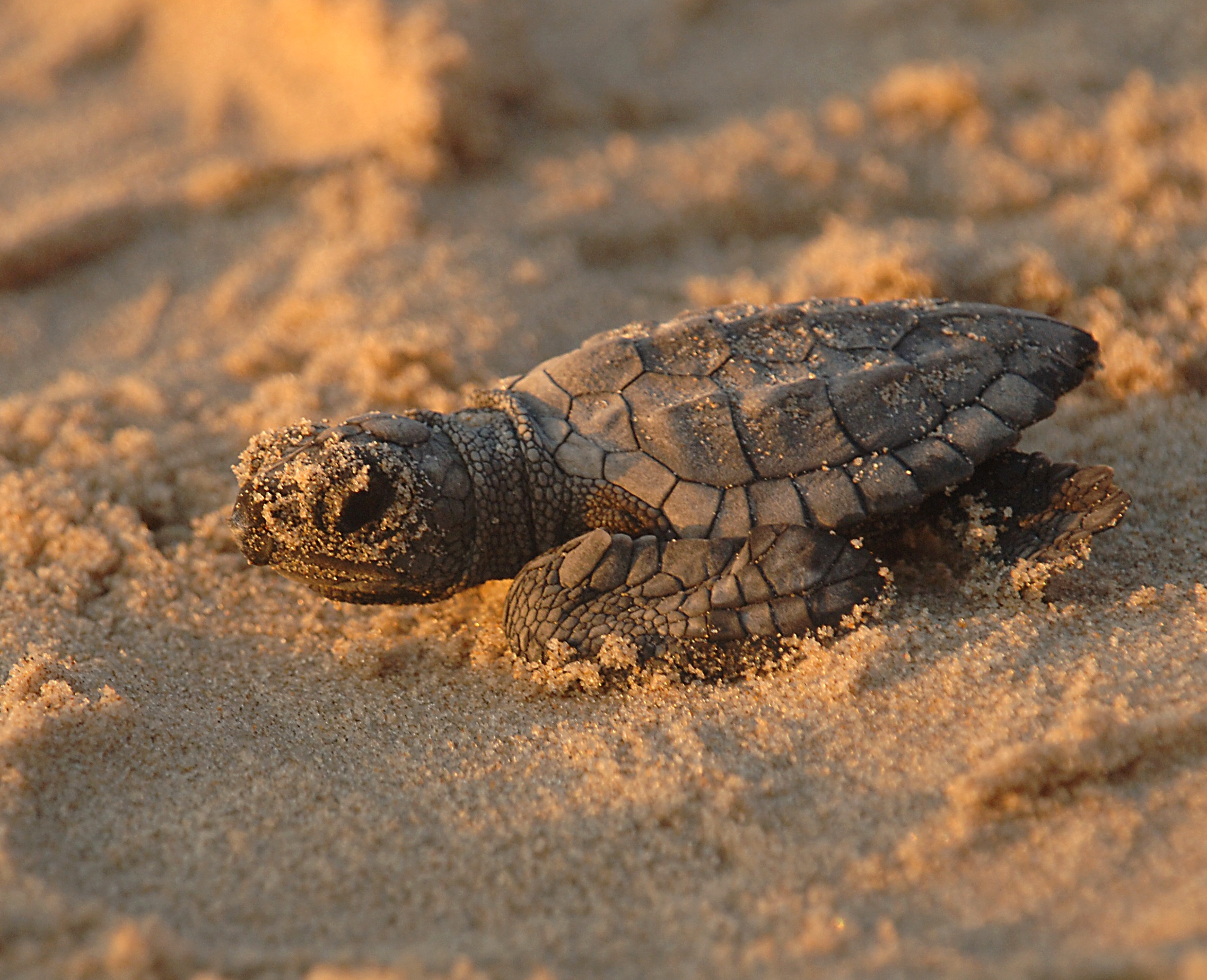 Turtle in the sand photo