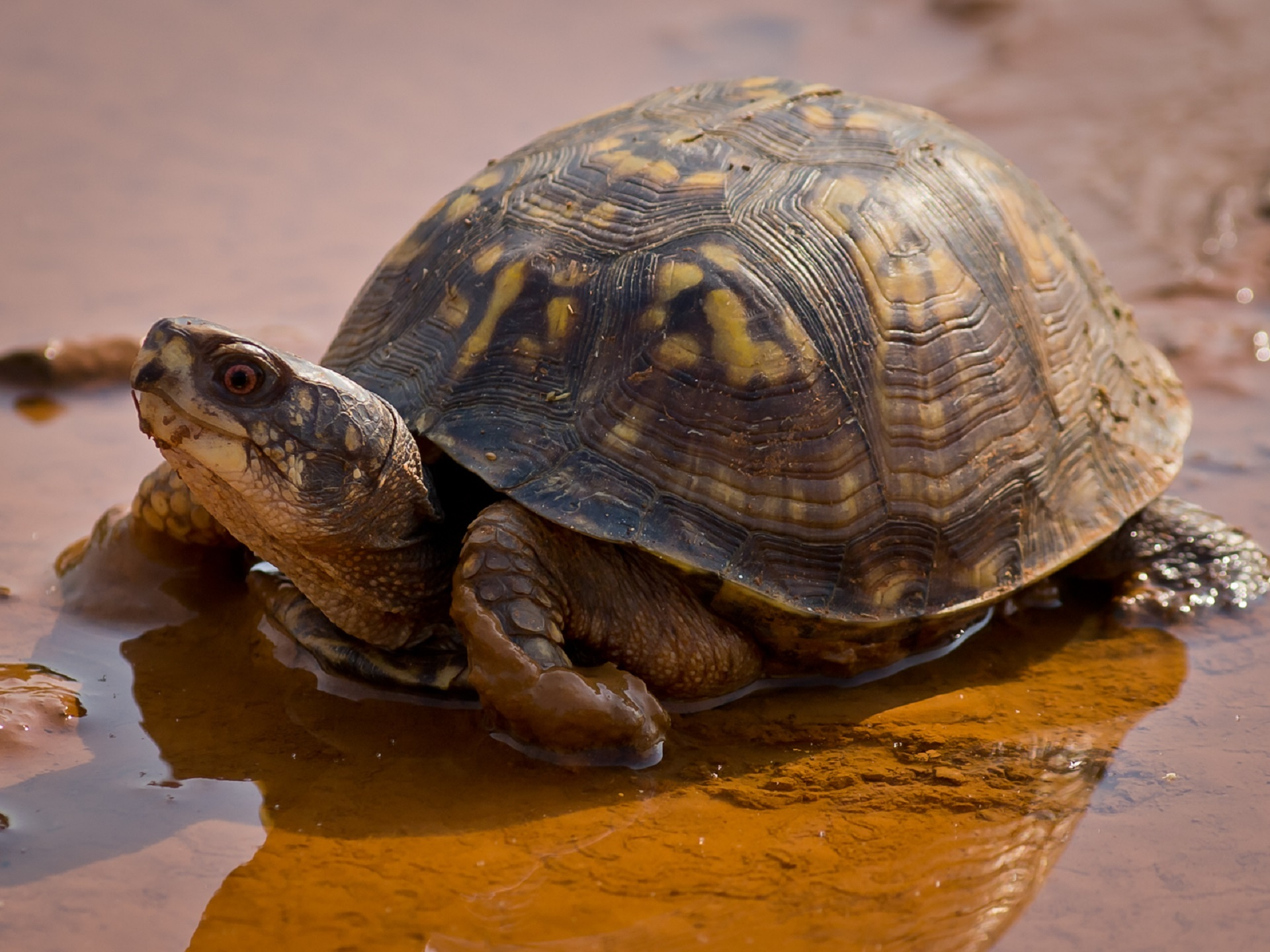 Turtle in the Water, Animal, Lake, Nature, River, HQ Photo
